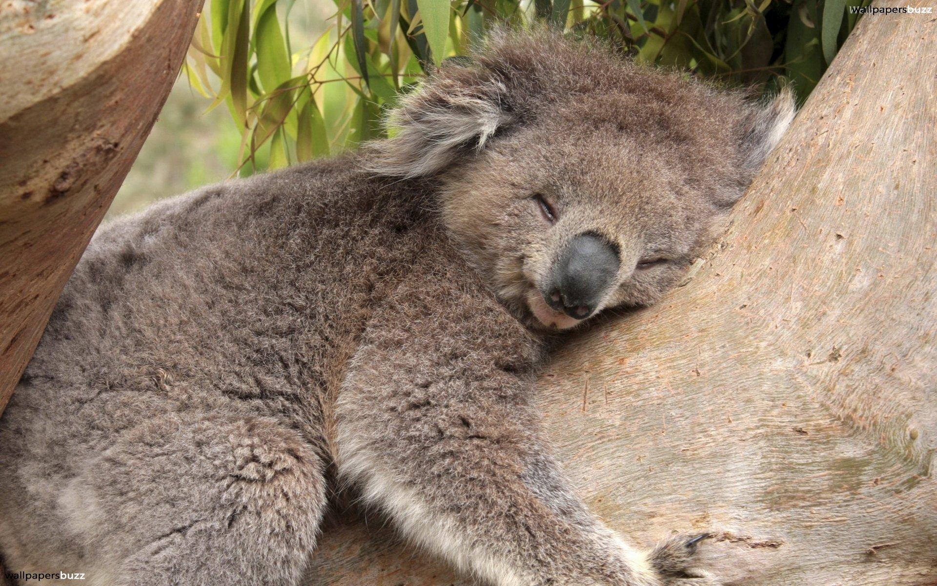 Koala sleeping photo