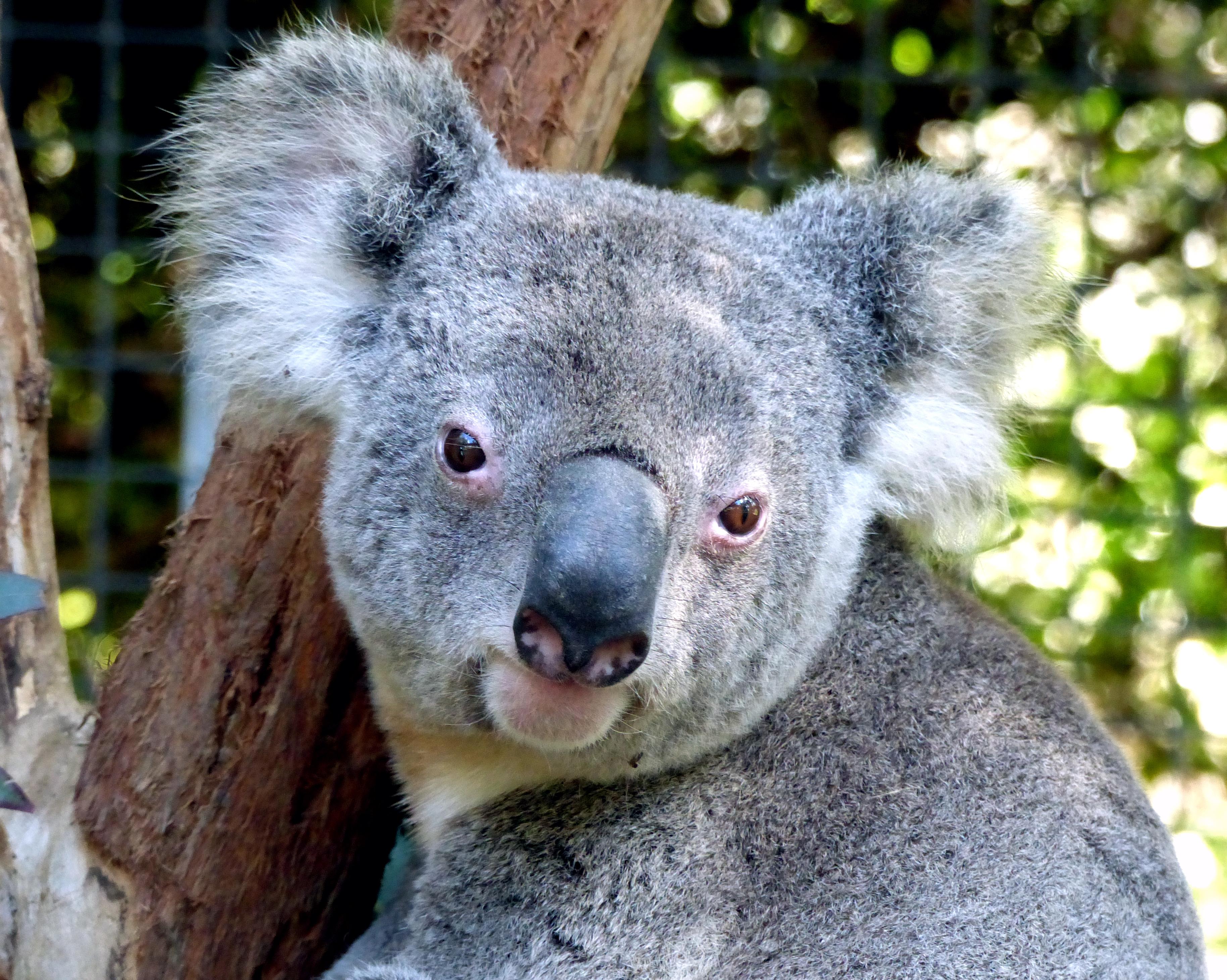 Koala.birdland animal park batemans bay nsw. photo