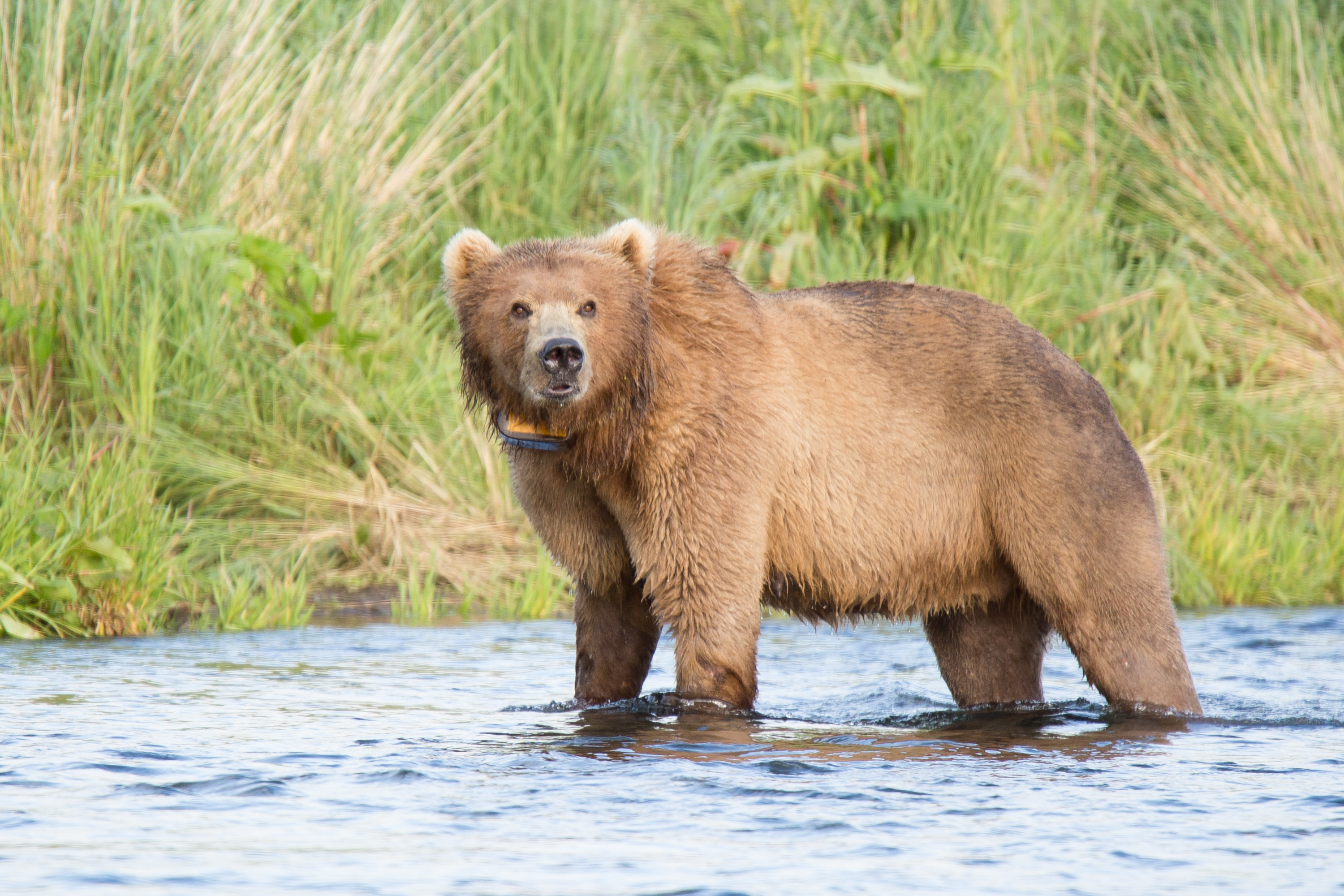 Why are Kodiak bears letting salmon slip away?