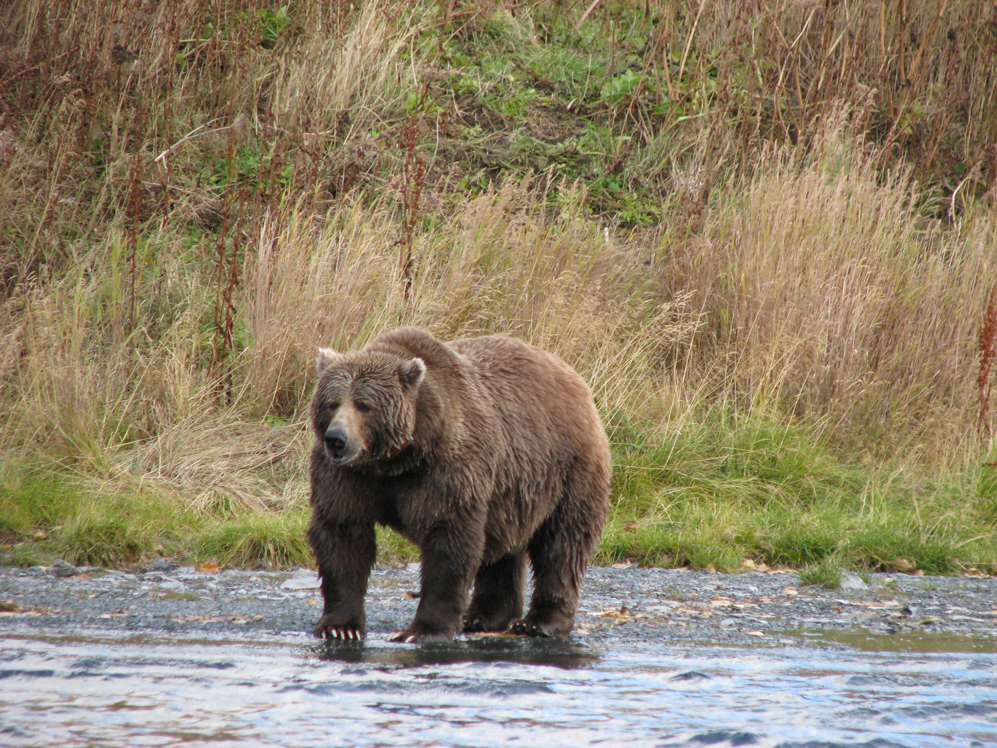 Kodiak Brown Bear Centre | Alaska | Adventure World NZ