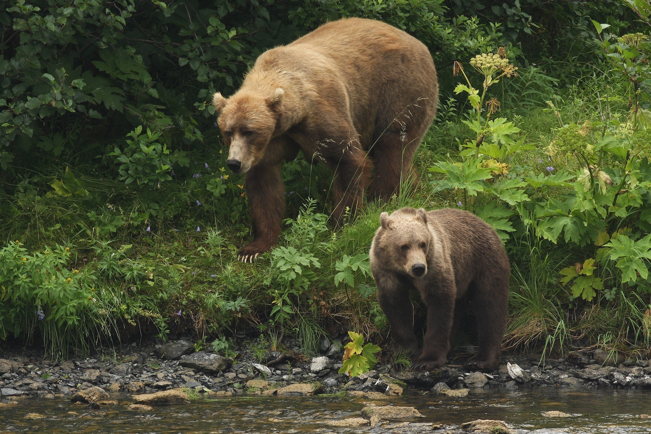 Kodiak Brown Bear, Animal, Bear, Brown, Jungle, HQ Photo