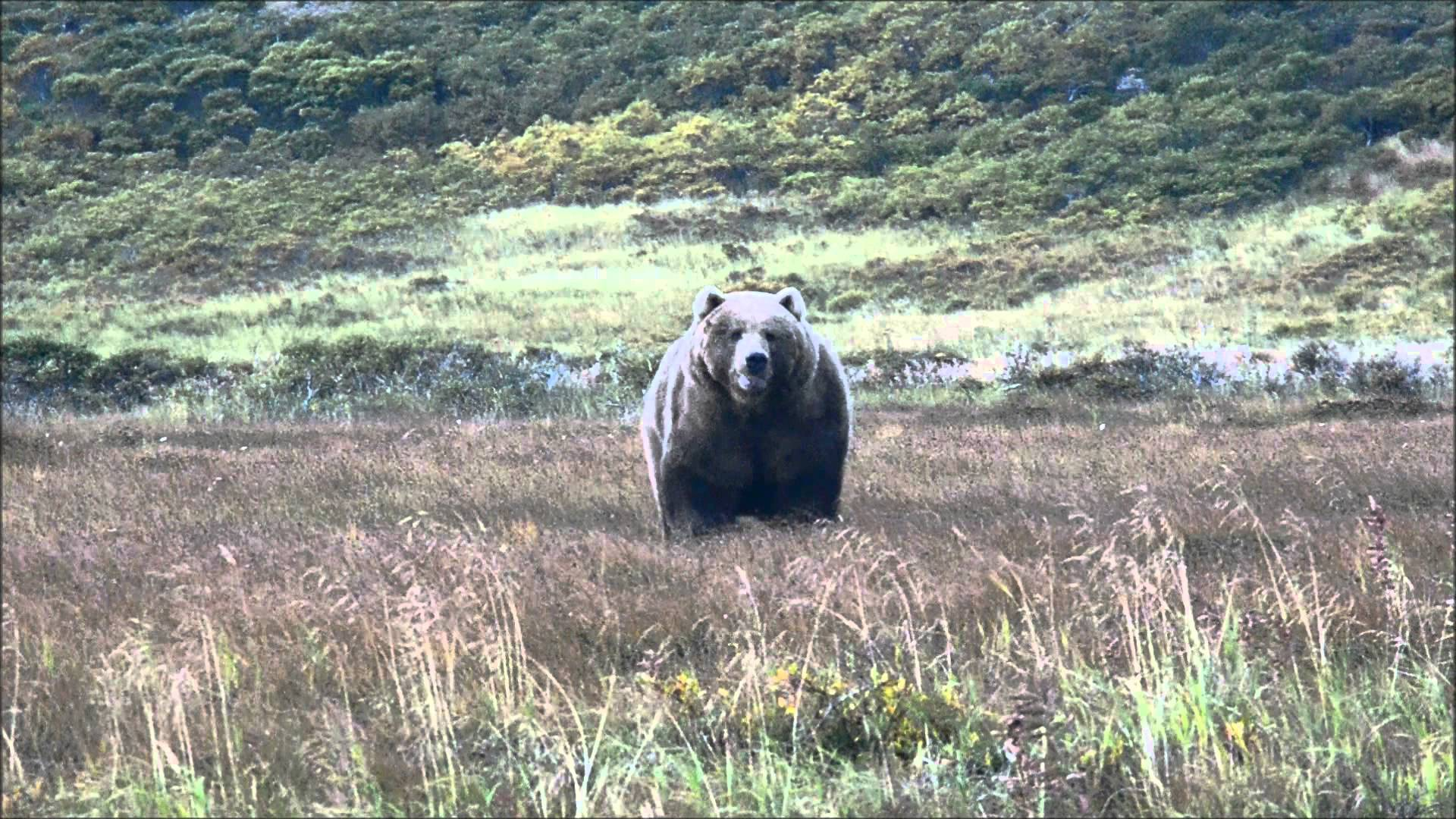 Huge, Fat, Kodiak Brown Bear– Kodiak Island, Alaska - YouTube