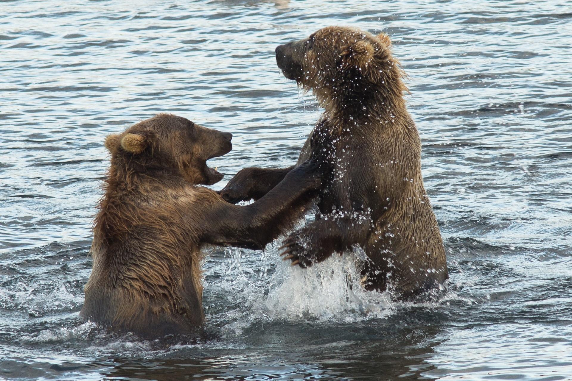 Kodiak Brown Bears, Animal, Bear, Brown, Fierce, HQ Photo