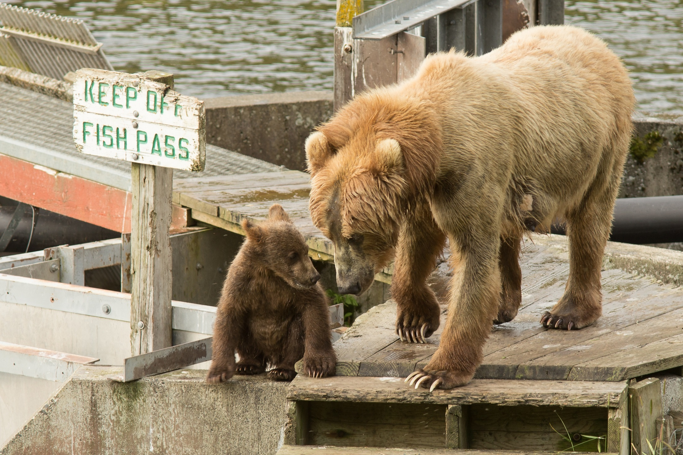 Kodiak brown bears photo