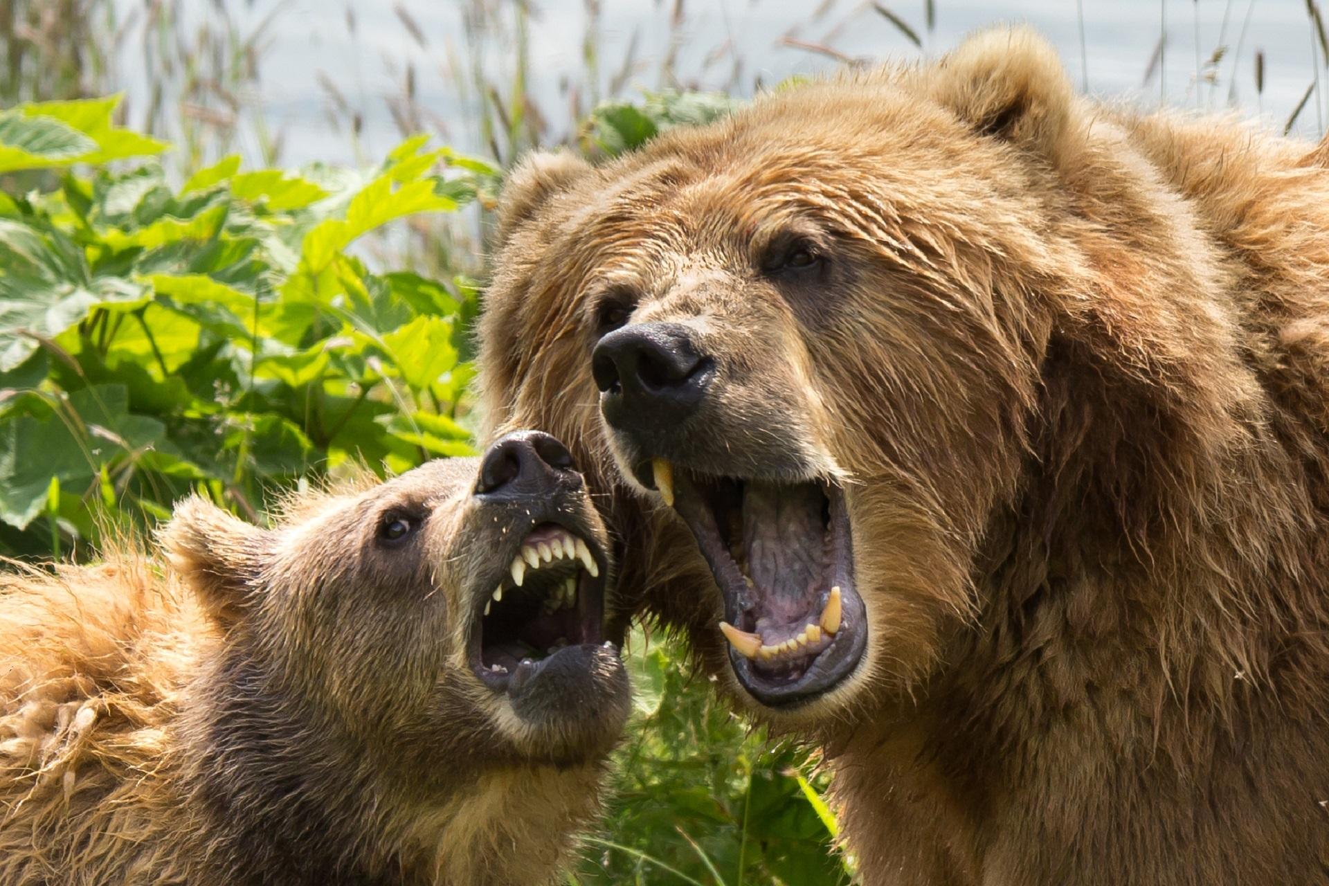 Kodiak Brown Bears, Animal, Bear, Brown, Grizzly, HQ Photo
