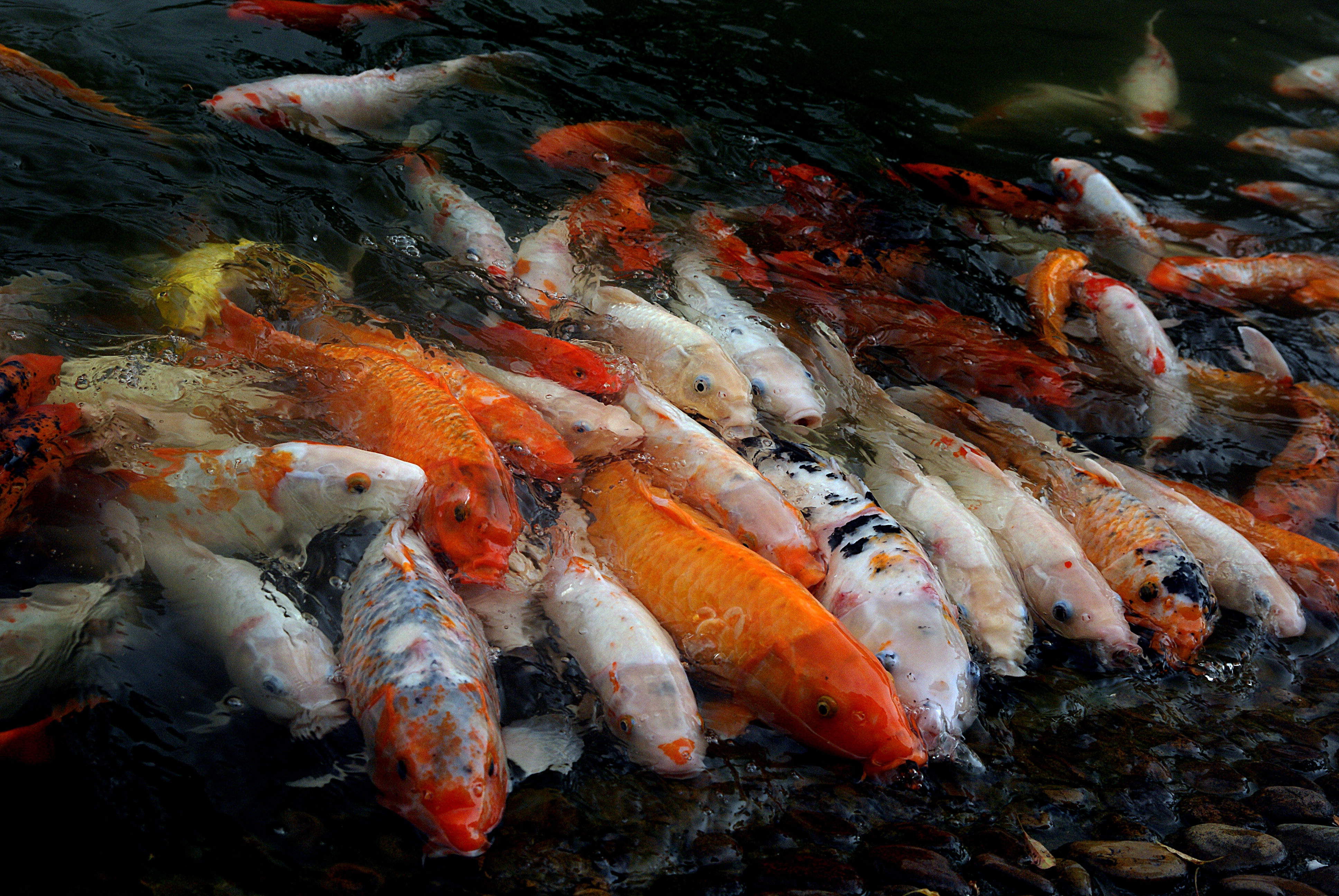 Koi carp. (Cyprinus carpio), Animal, Colour, Fish, Food, HQ Photo