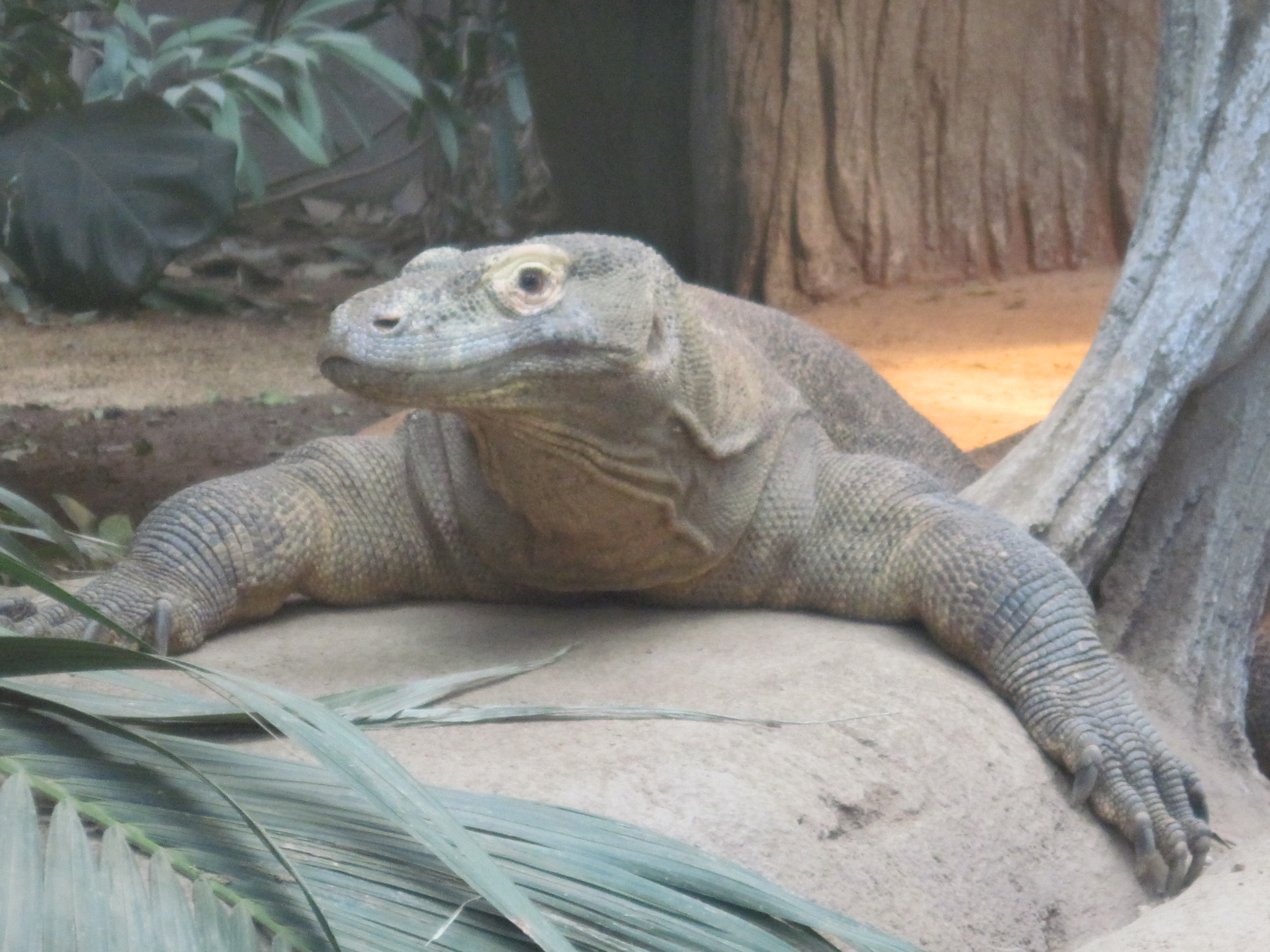 Komodo dragon photo