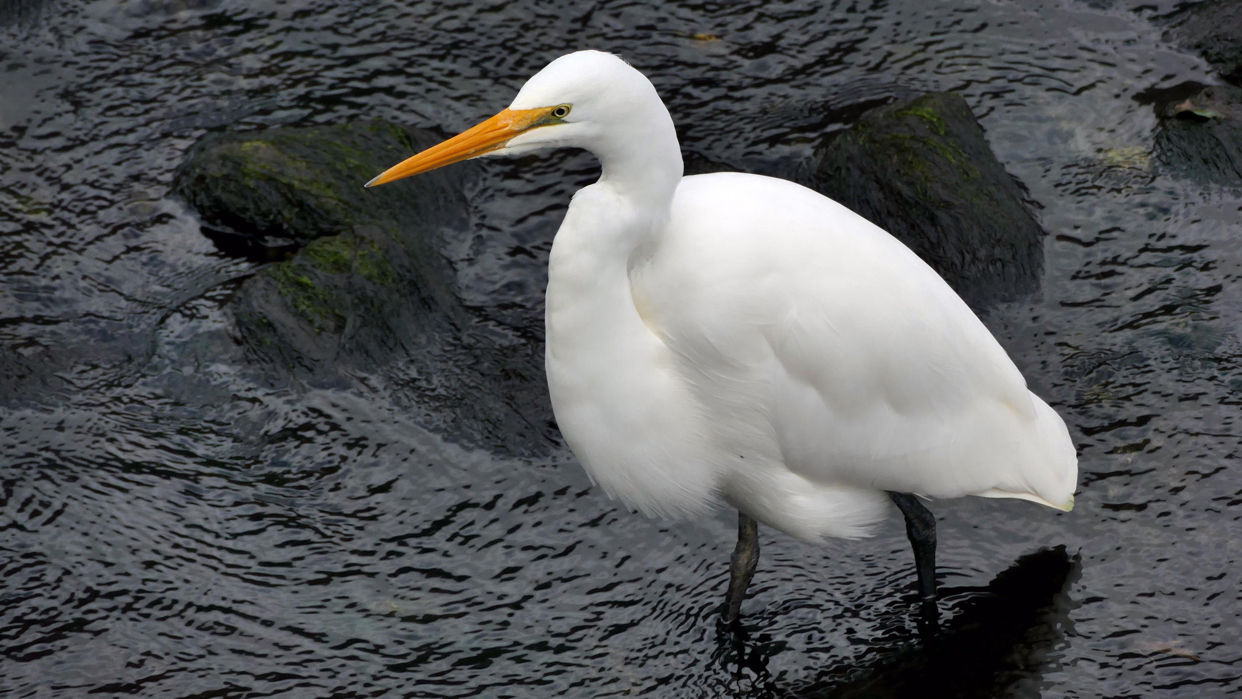 Kotuku, White heron, Egretta alba modesta,, Lumix FZ1000, Nature Lover, Outdoor, Free photos, HQ Photo