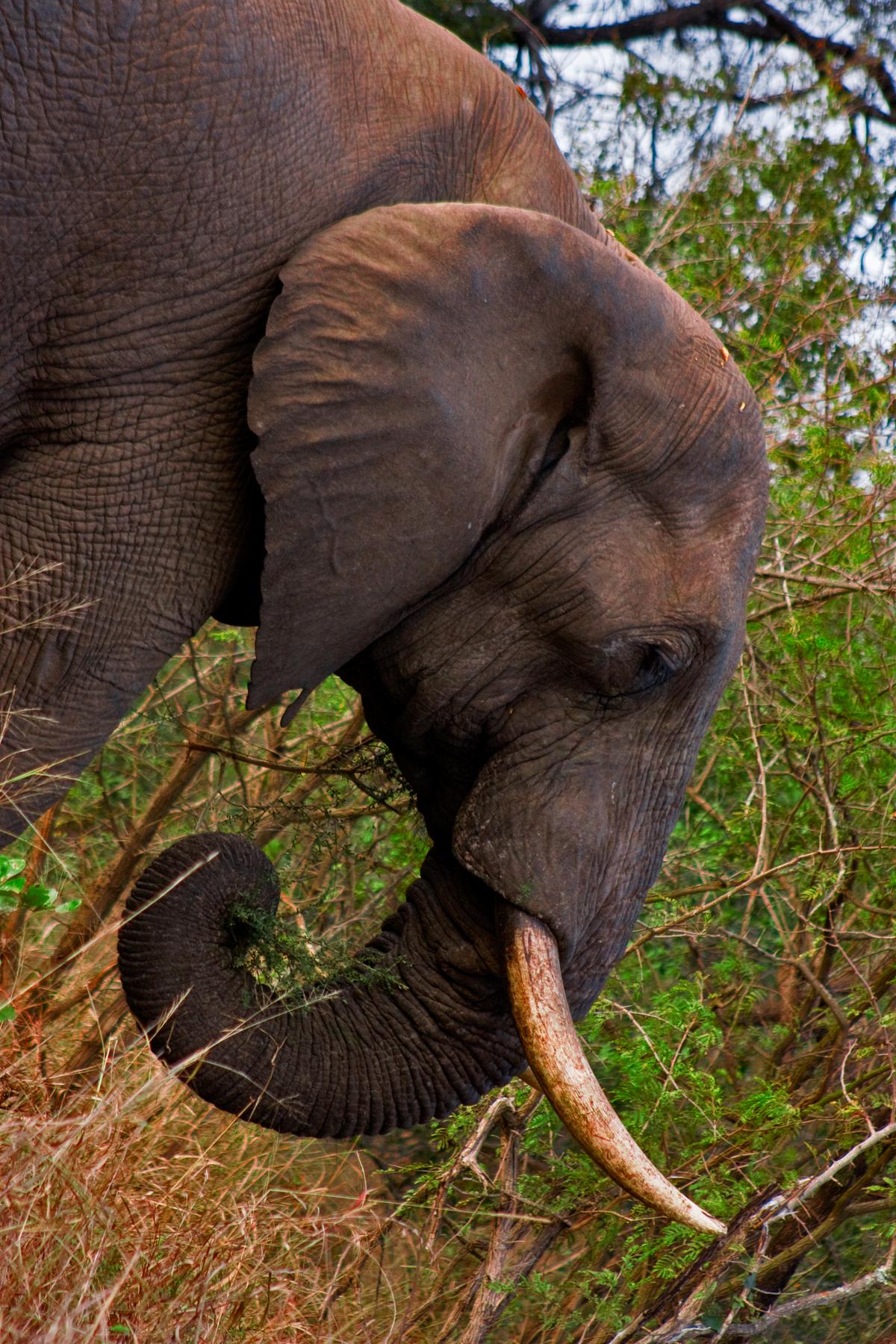 Kruger Park Elephant, Africa, South, Park, Perspective, HQ Photo