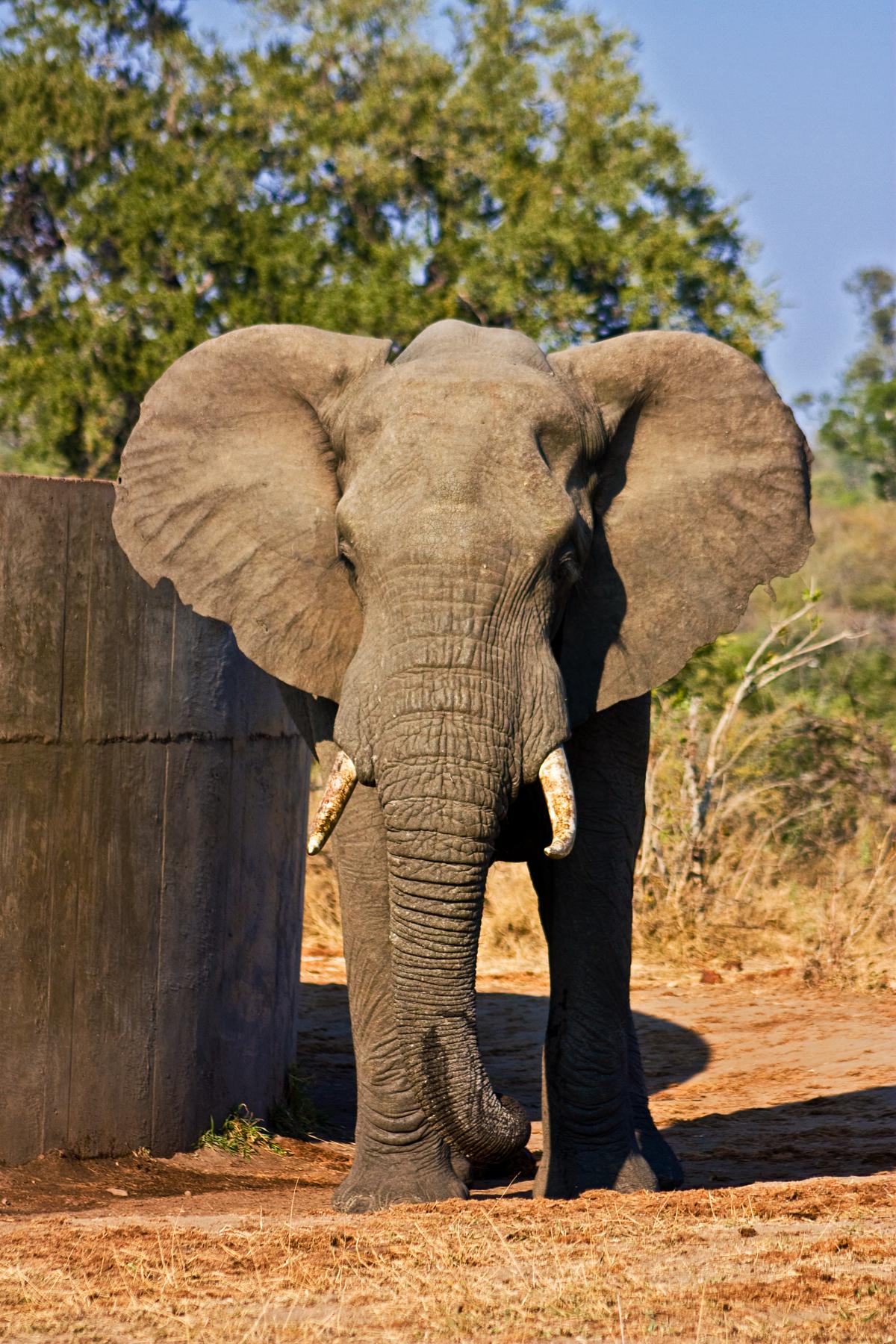 Kruger Park Elephant, Africa, Stock, Photo, Photograph, HQ Photo