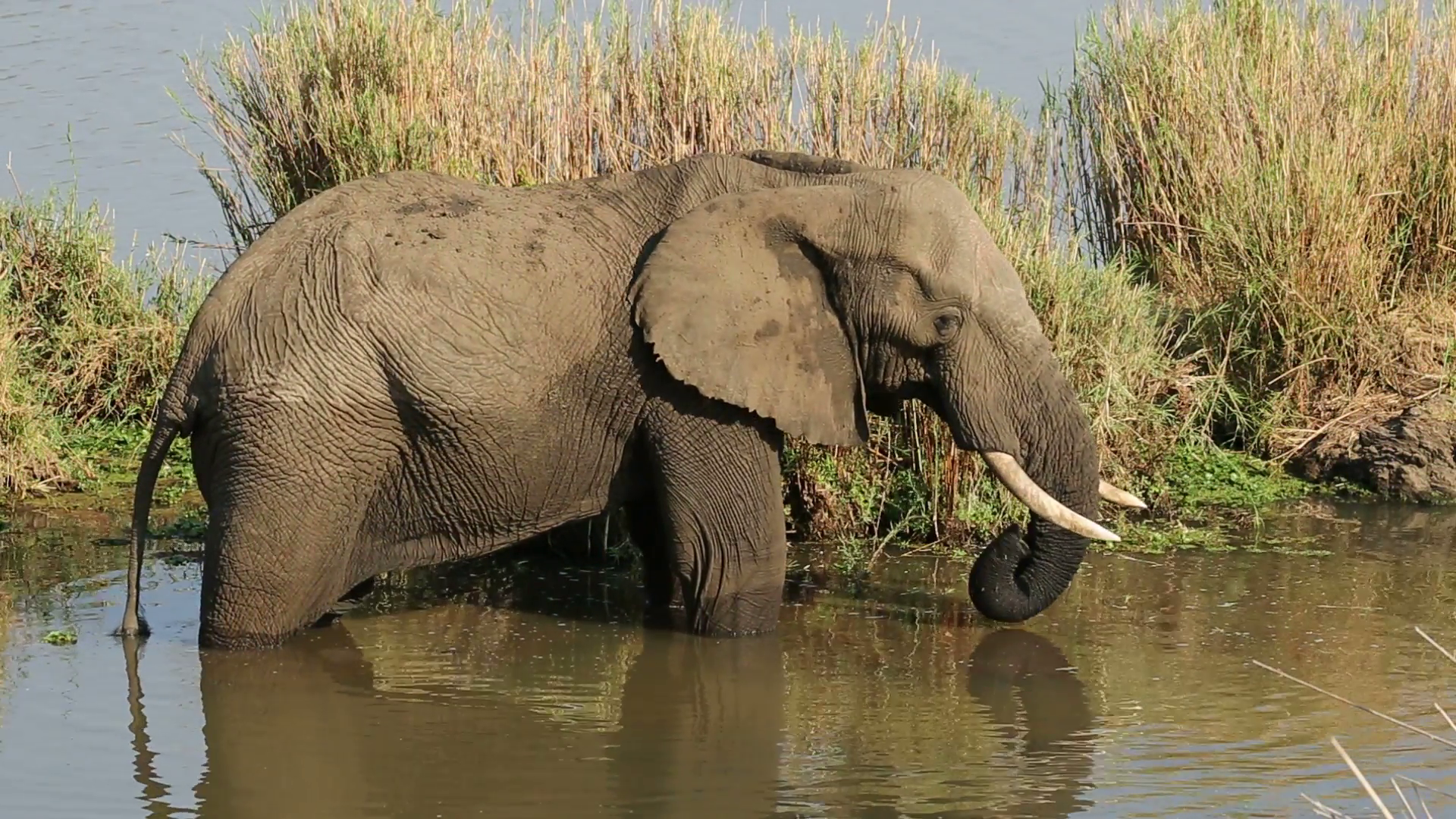 An large African bull elephant feeding in a river, Kruger National ...