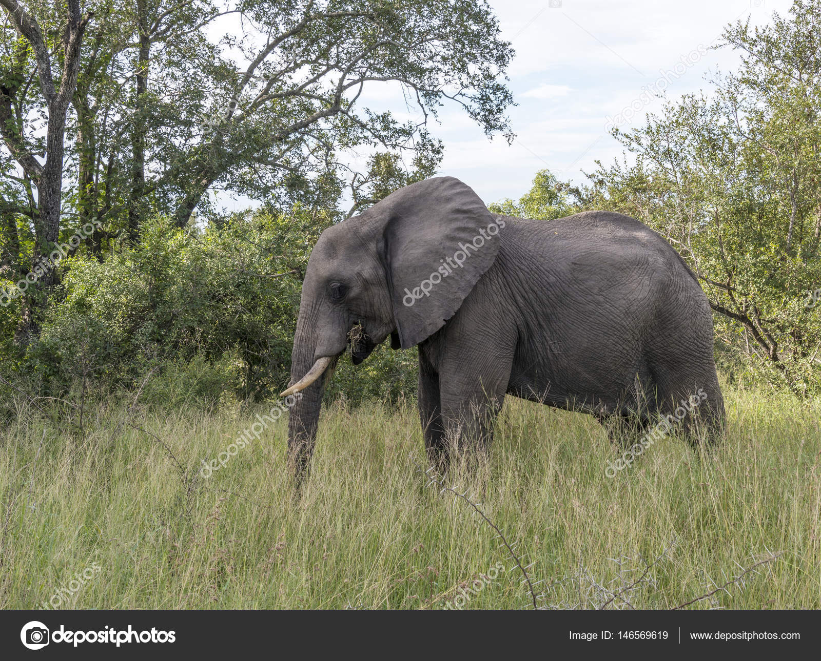 big elephant in kruger park — Stock Photo © compuinfoto #146569619