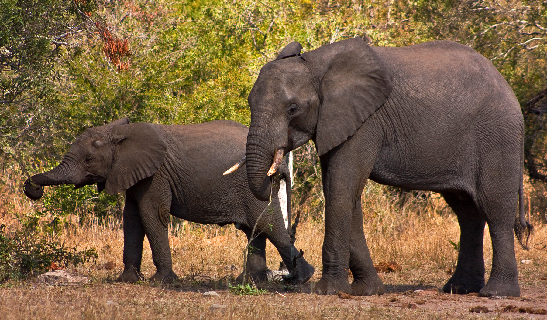 Kruger Park Elephants, Africa, Safari, Pachiderm, Pachyderm, HQ Photo