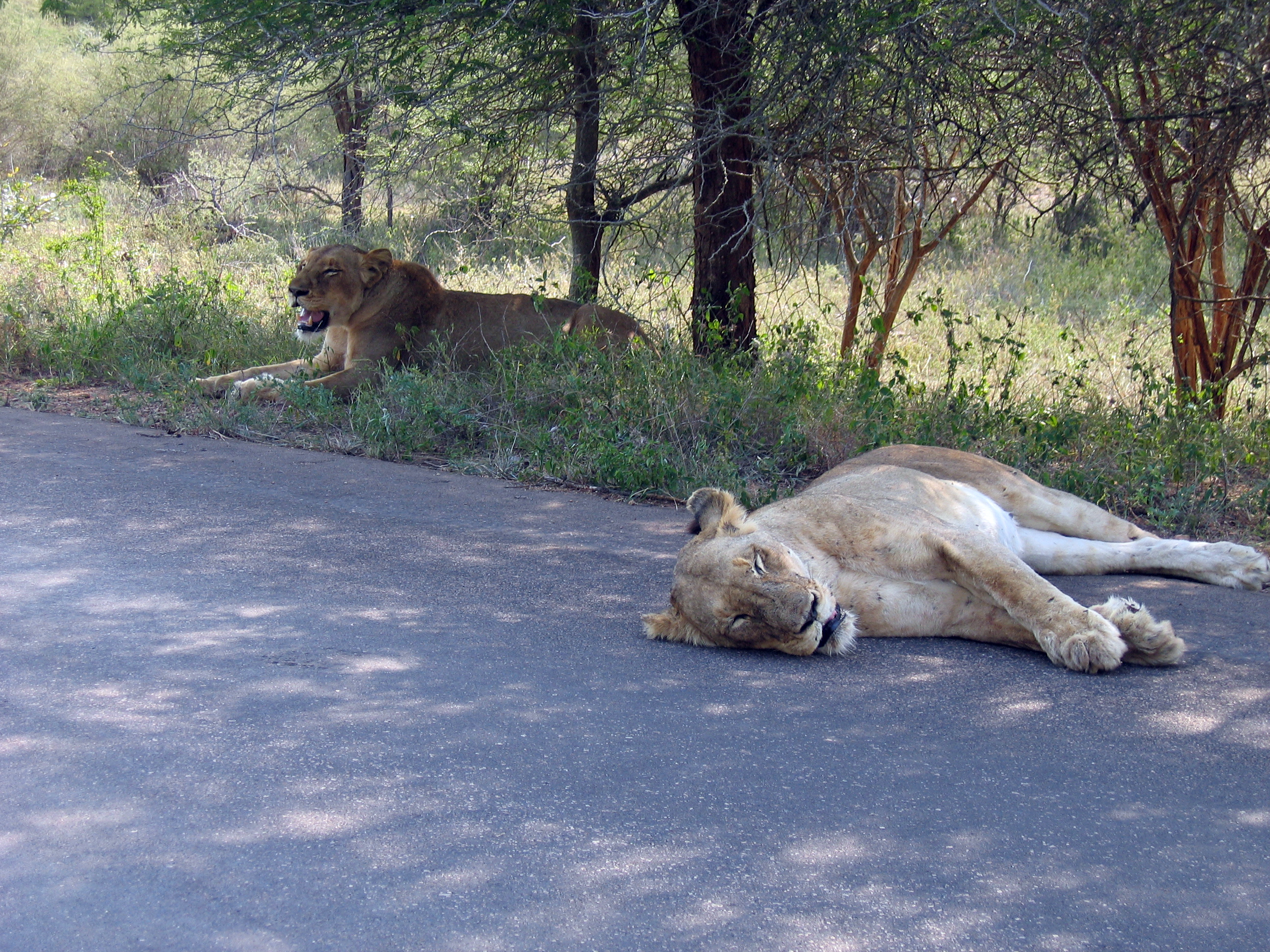 File:Two lions having a break after an unsuccessful hunt in Kruger ...