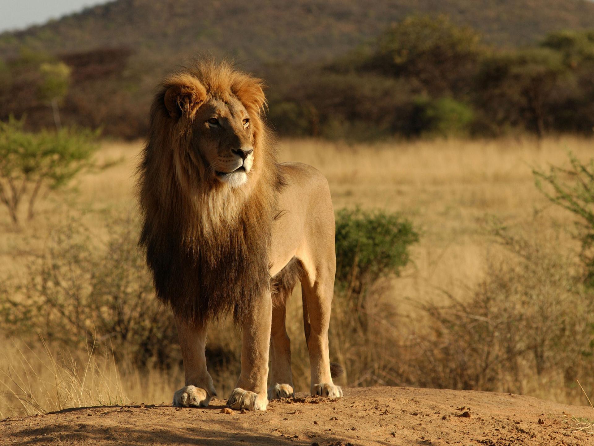 A Roaring Lion | normasnuggets