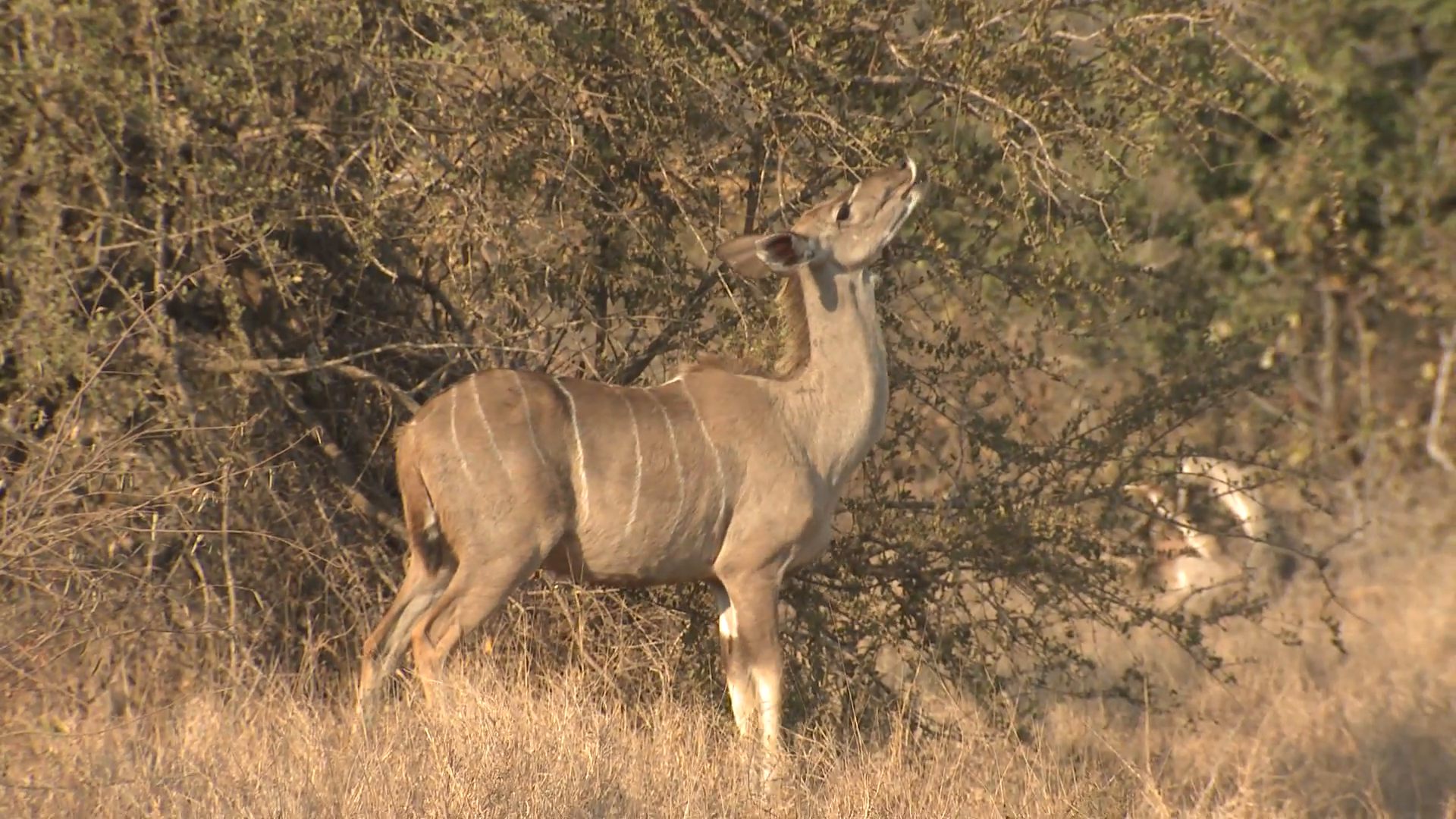 Greater Kudu Female Lone Feeding Winter Stock Video Footage ...