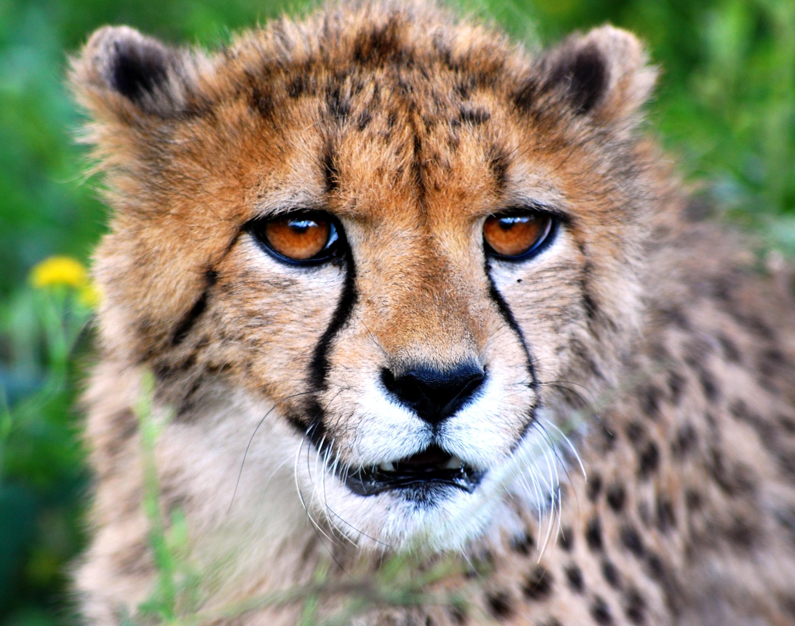 File:Naankuse Lucky the cheetah.jpg - Wikimedia Commons