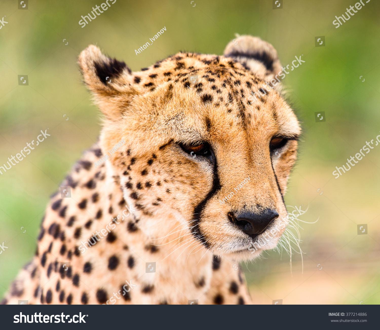 Portrait Cheetah Naankuse Wildlife Sanctuary Namibia Stock Photo ...