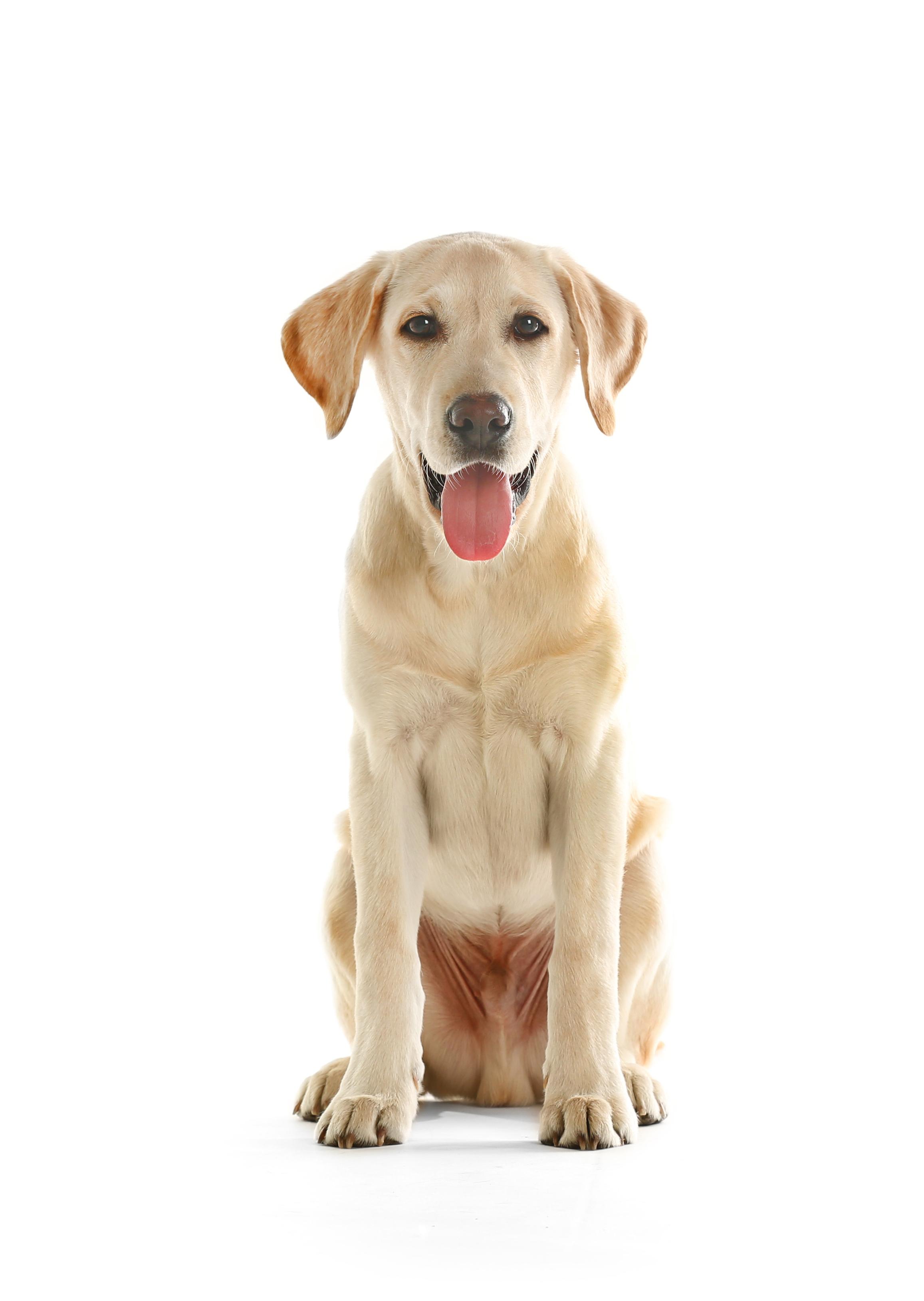 02.-Labrador-retriever.jpg