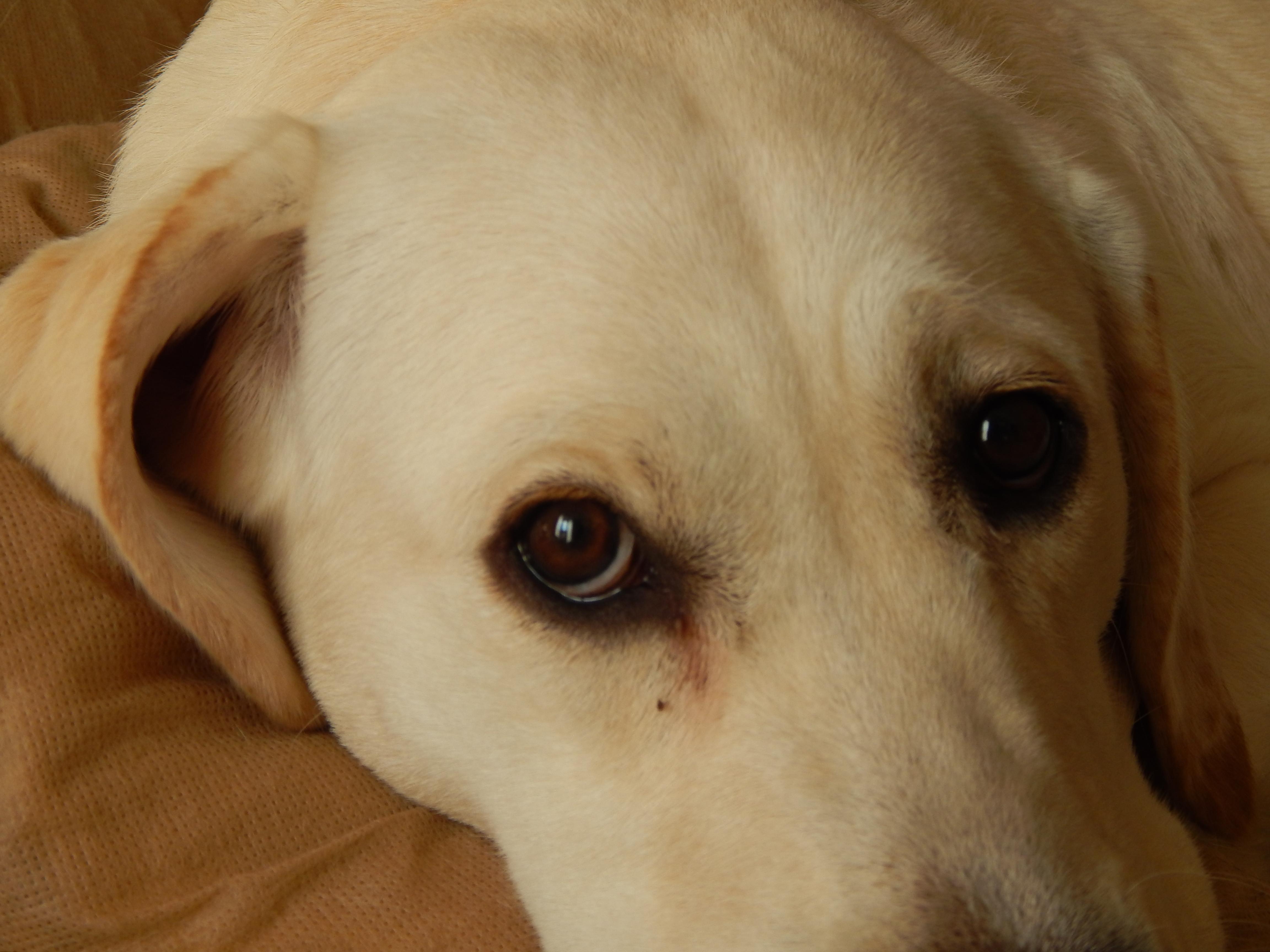 Labrador, Dog, Eyes, Lying, Sleepy, HQ Photo