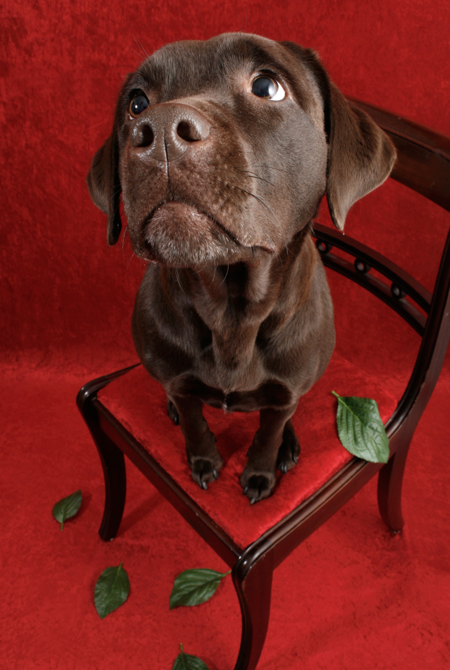 Labrador dog on chair, Brown, Chair, Christmas, Colors, HQ Photo