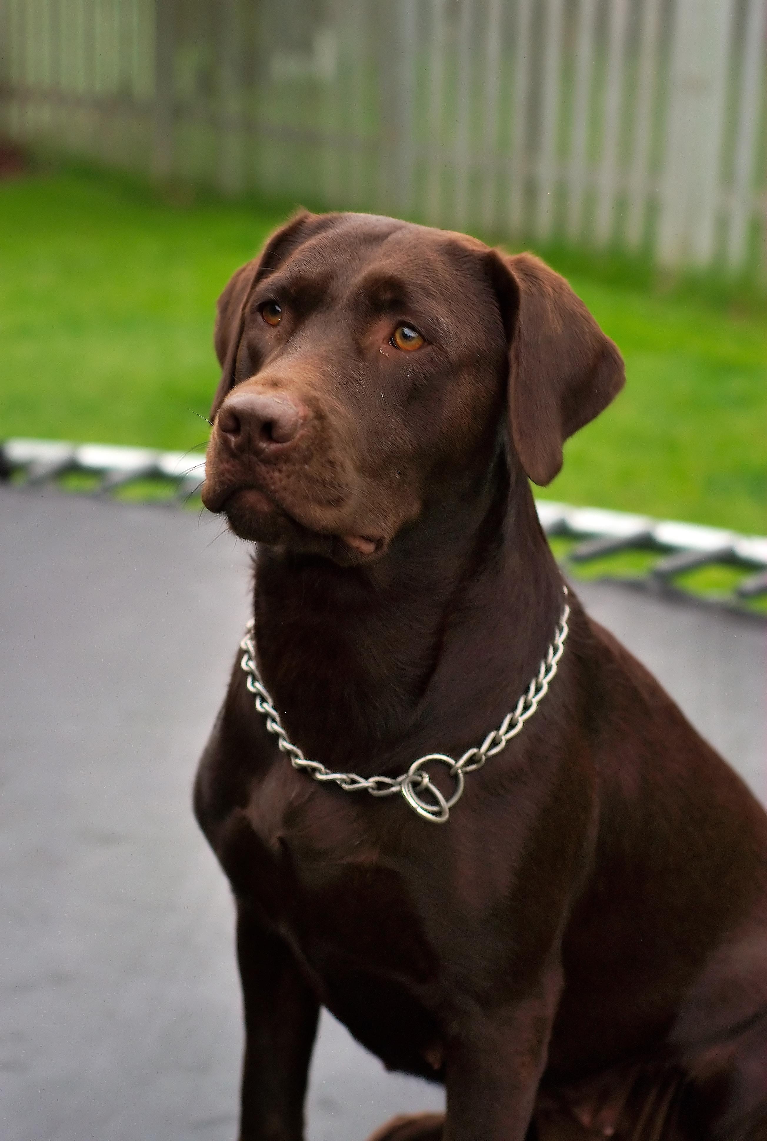 File:Labrador Retriever chocolate Hershey sit.jpg - Wikimedia Commons