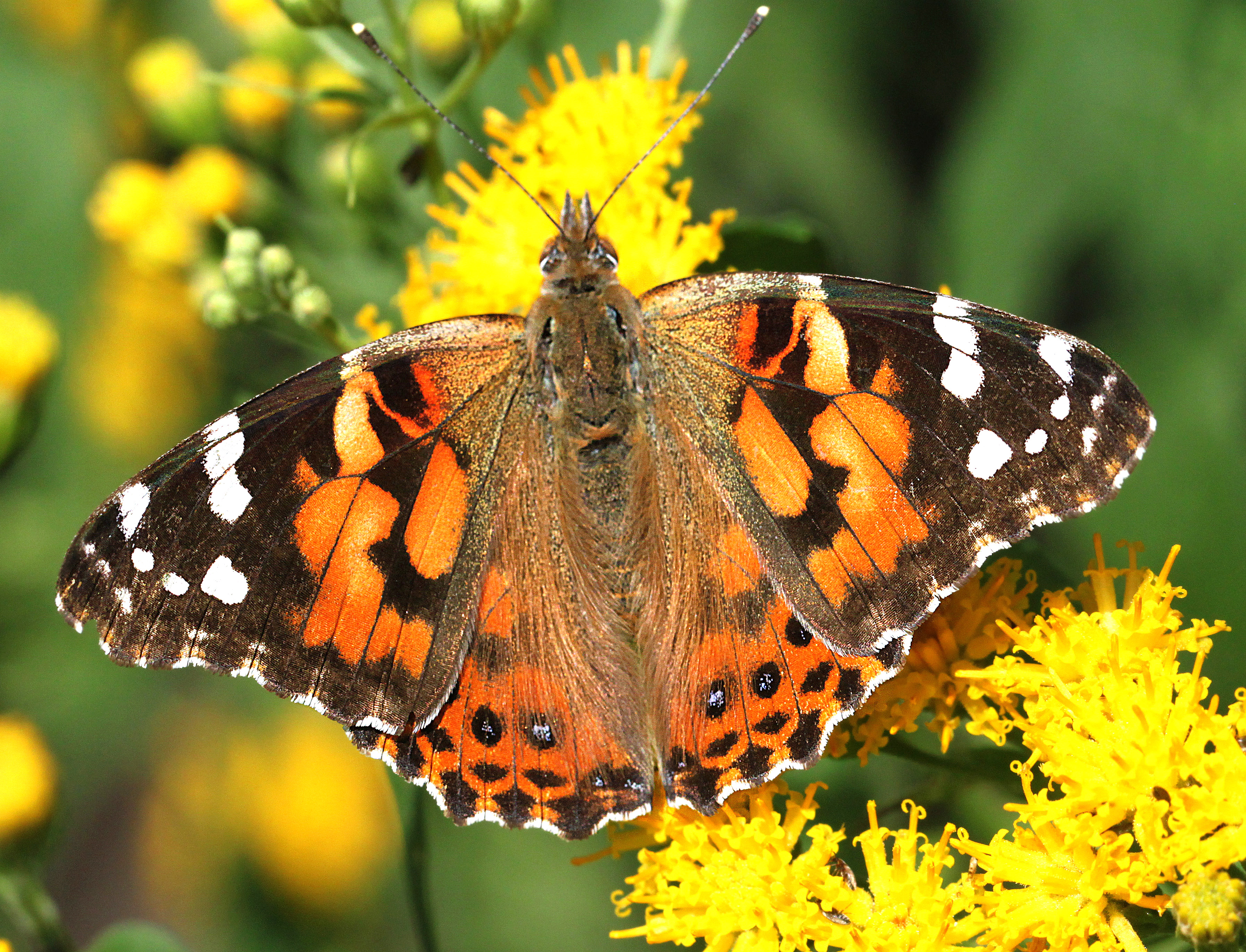 LADY, PAINTED (Vanessa cardui) (8-11-12) hannigan meadows, white mountains, az - (8), Animal, Bright, Butterfly, Insect, HQ Photo