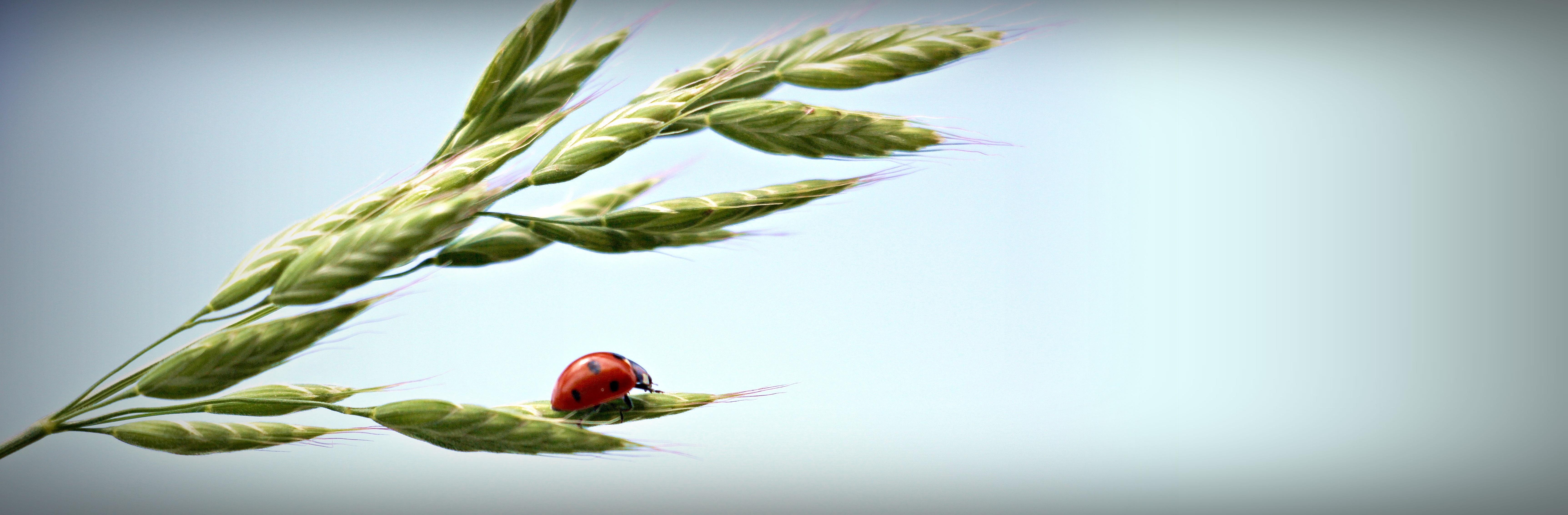 Ladybud on the wheat photo
