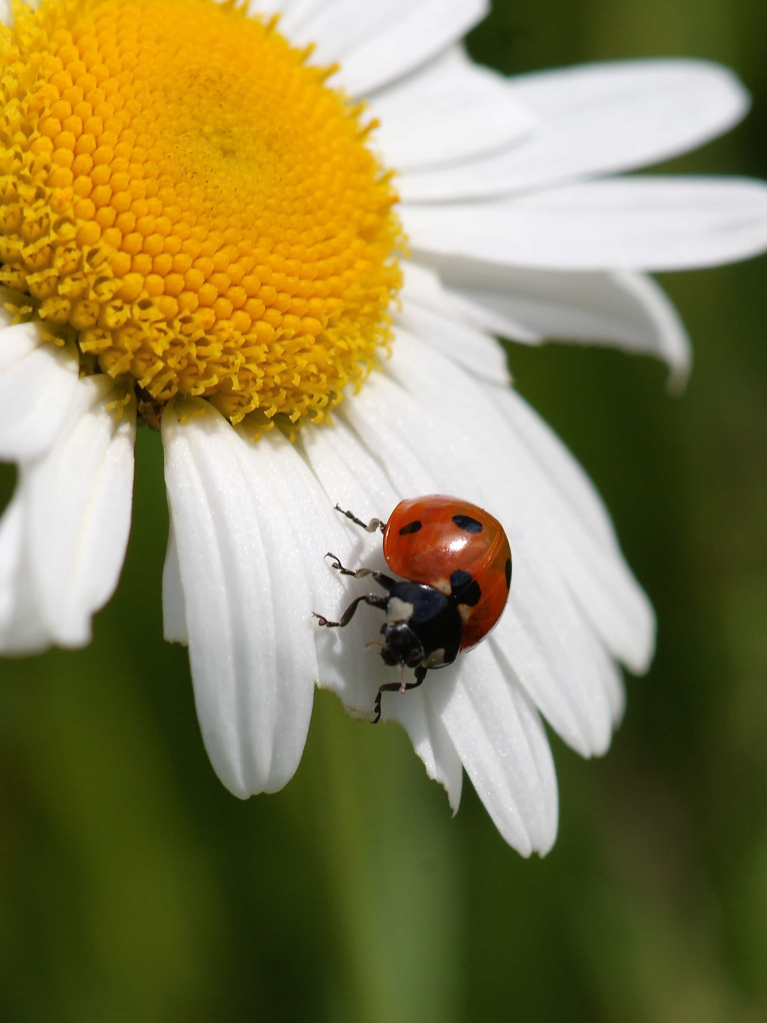 Free picture: beetle, summer, ladybug, nature, flora, insect, plant ...