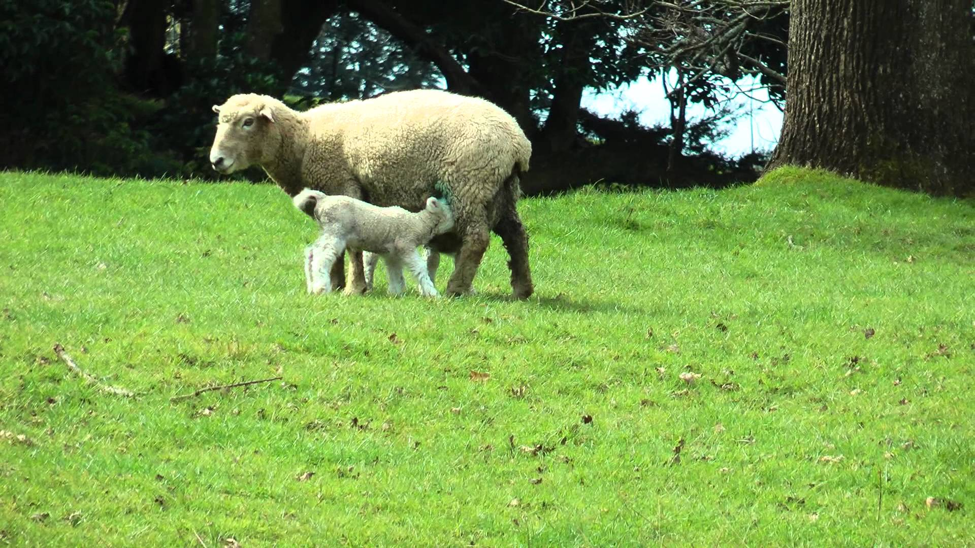 Mother sheep and her baby lambs feeding - YouTube