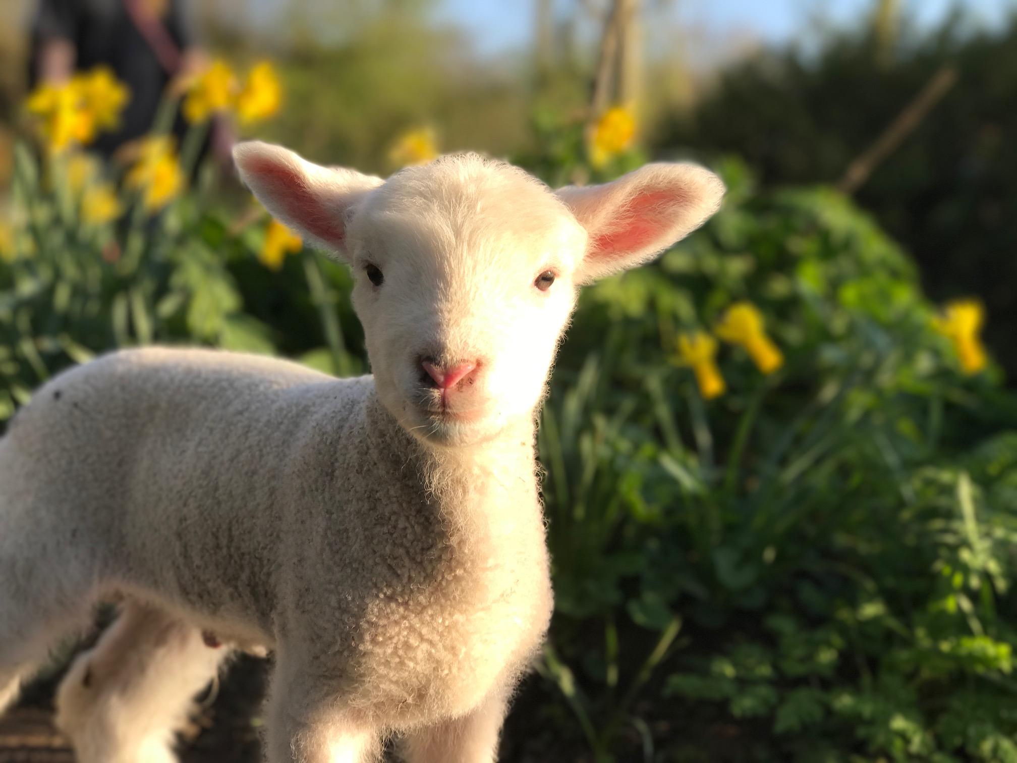 Lambs | Deen City Farm