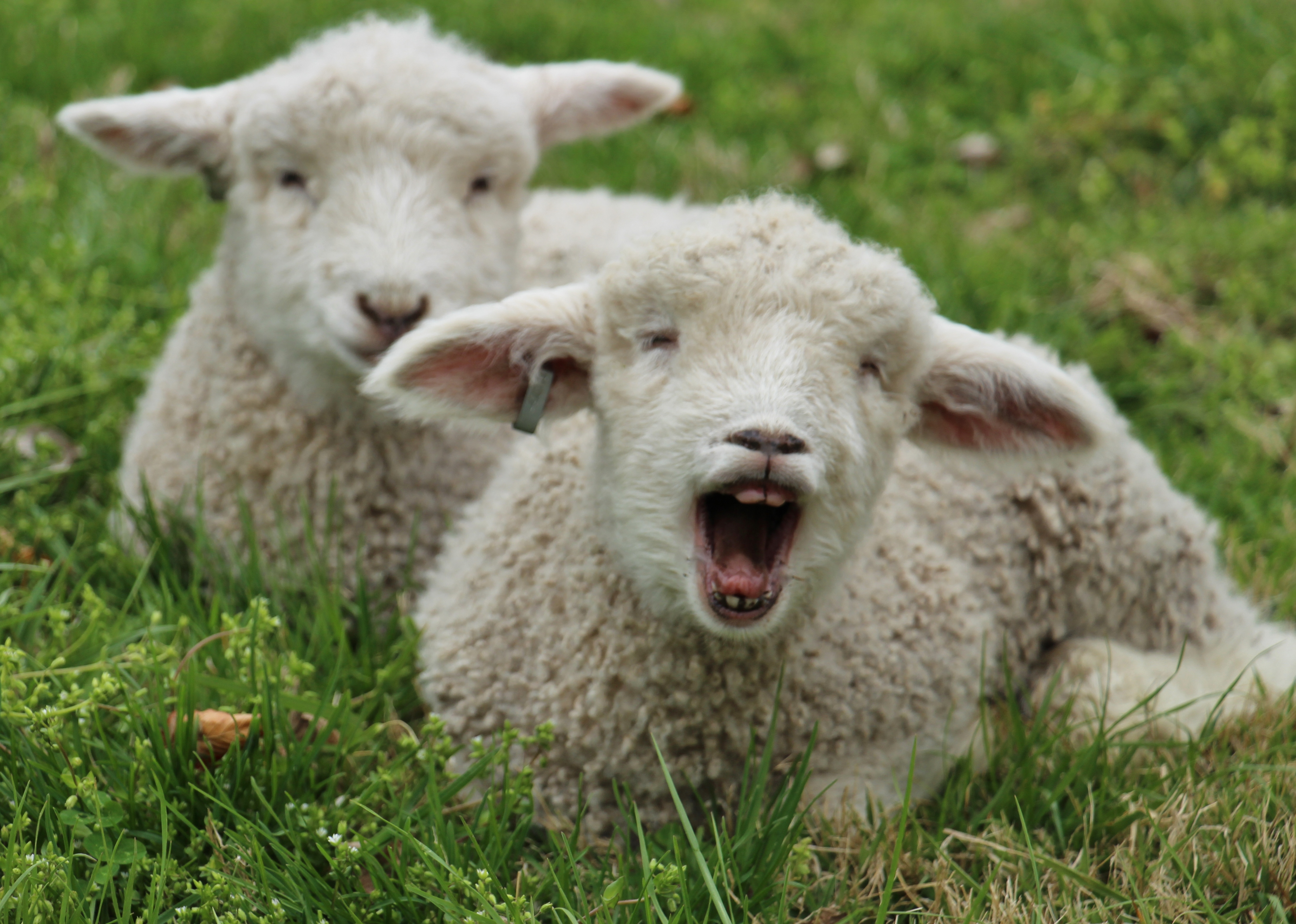 Caption This! Our Lambs Ham it Up Big Time for the Cameras | Making ...
