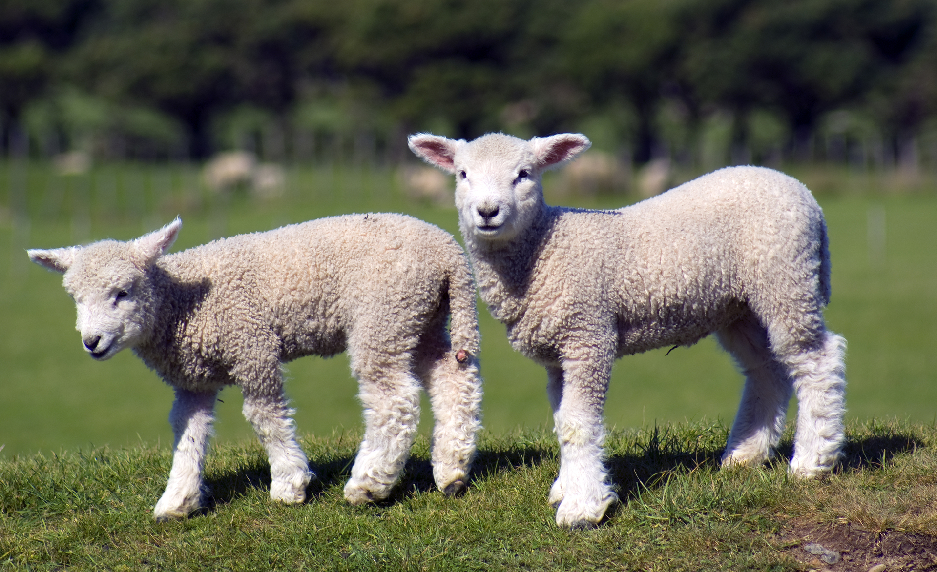 Orphan Lambs and Lamb Rearing- Best practice