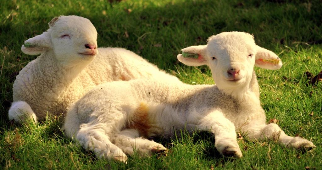 Lambs, Animals, Cute, Farm, Spring, HQ Photo