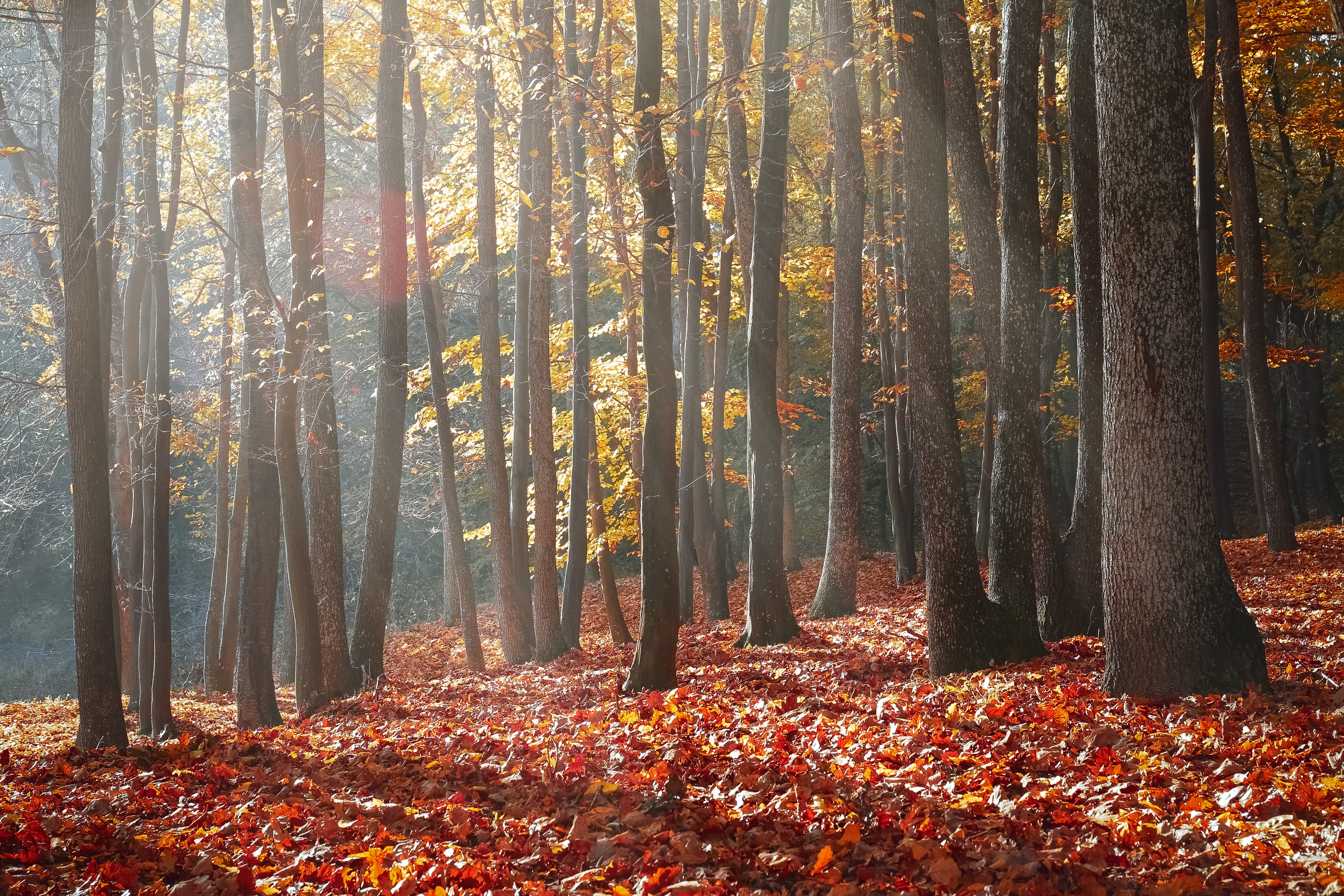 Landscape Photography of Forest during Autumn Season, Autumn, Maple, Trees, Sunbeam, HQ Photo