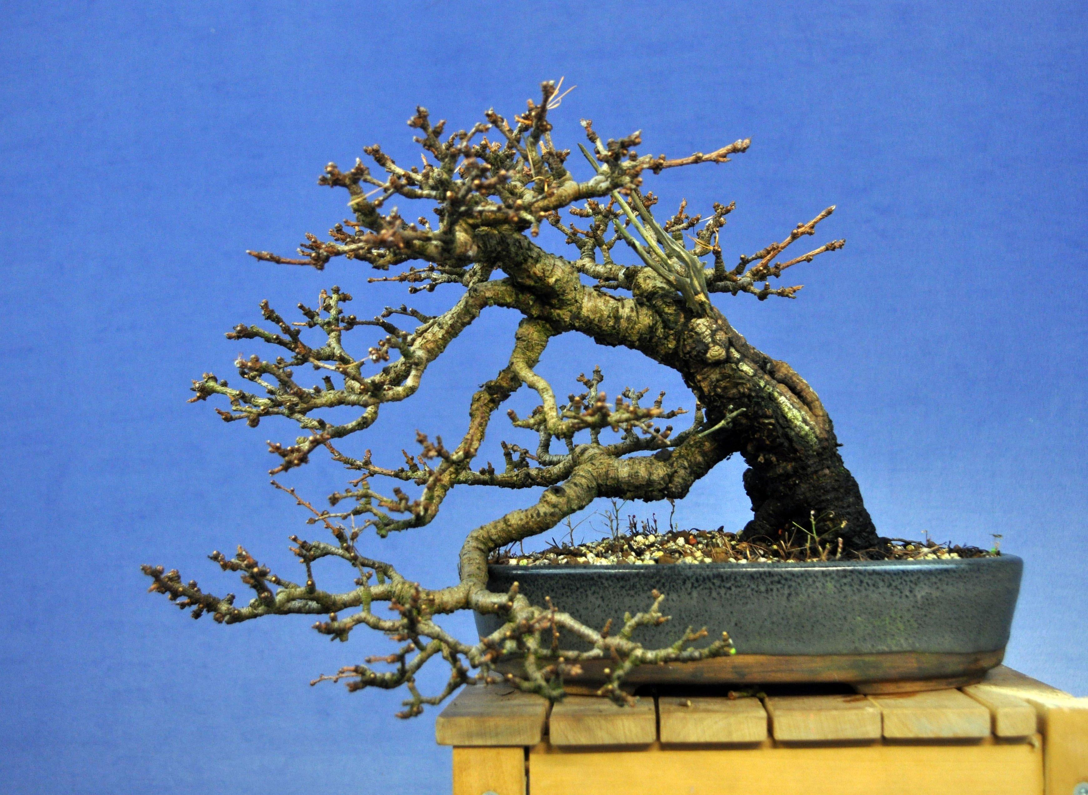 Golden Larch Bonsai Care Guide - YouTube
