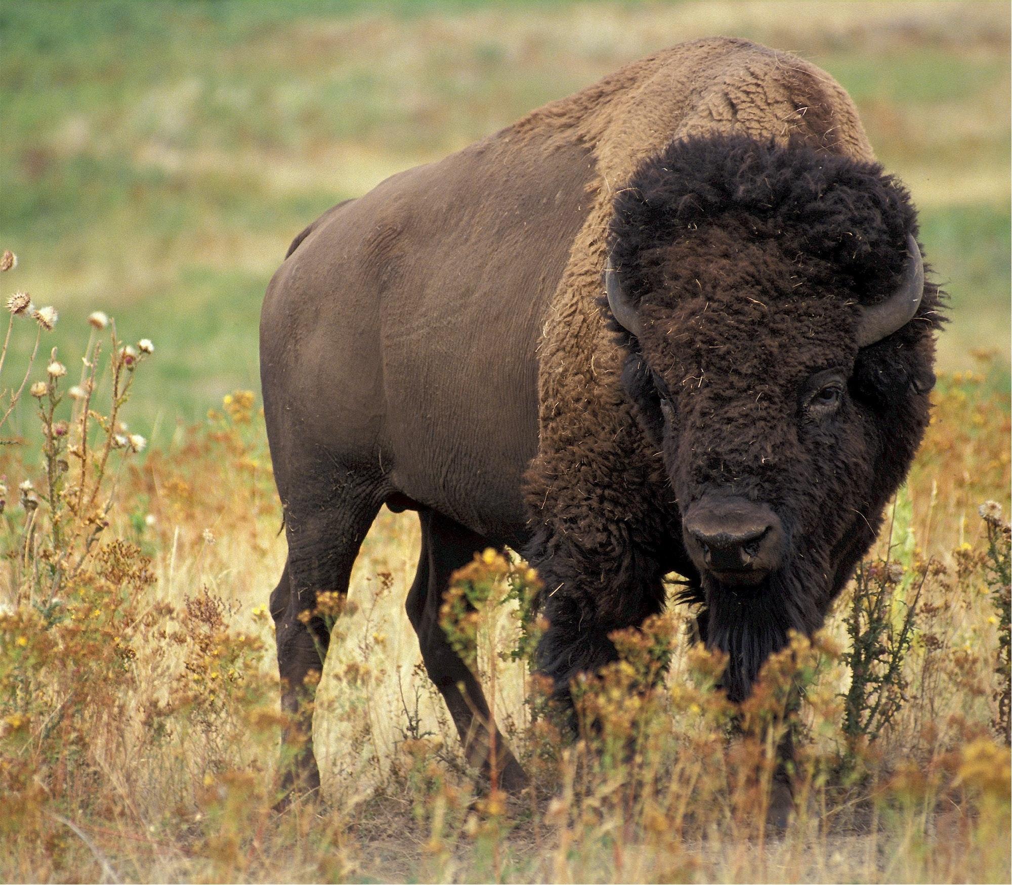 Large bison photo