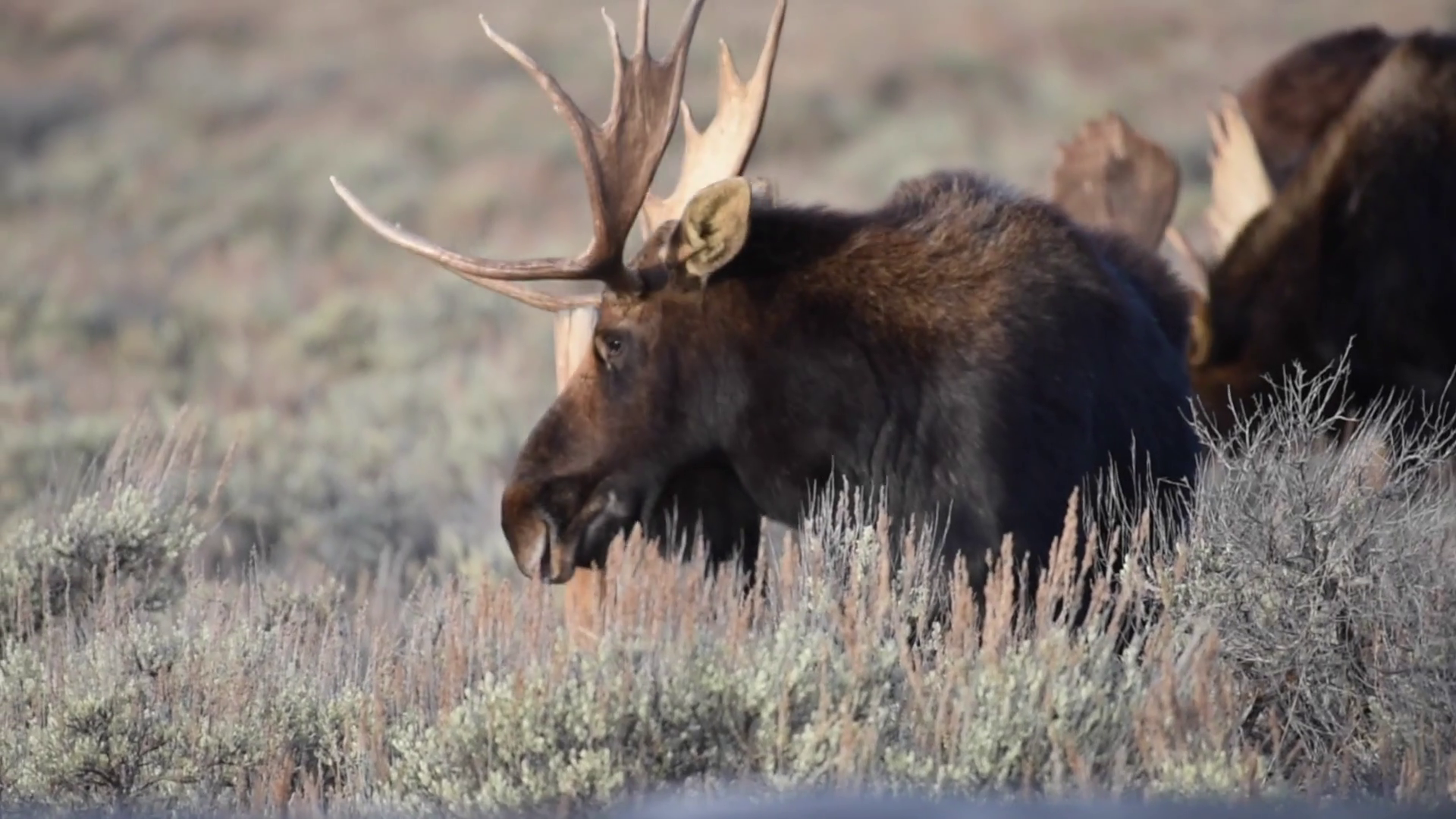 Large bull moose scratching his head agains a fence post Stock Video ...