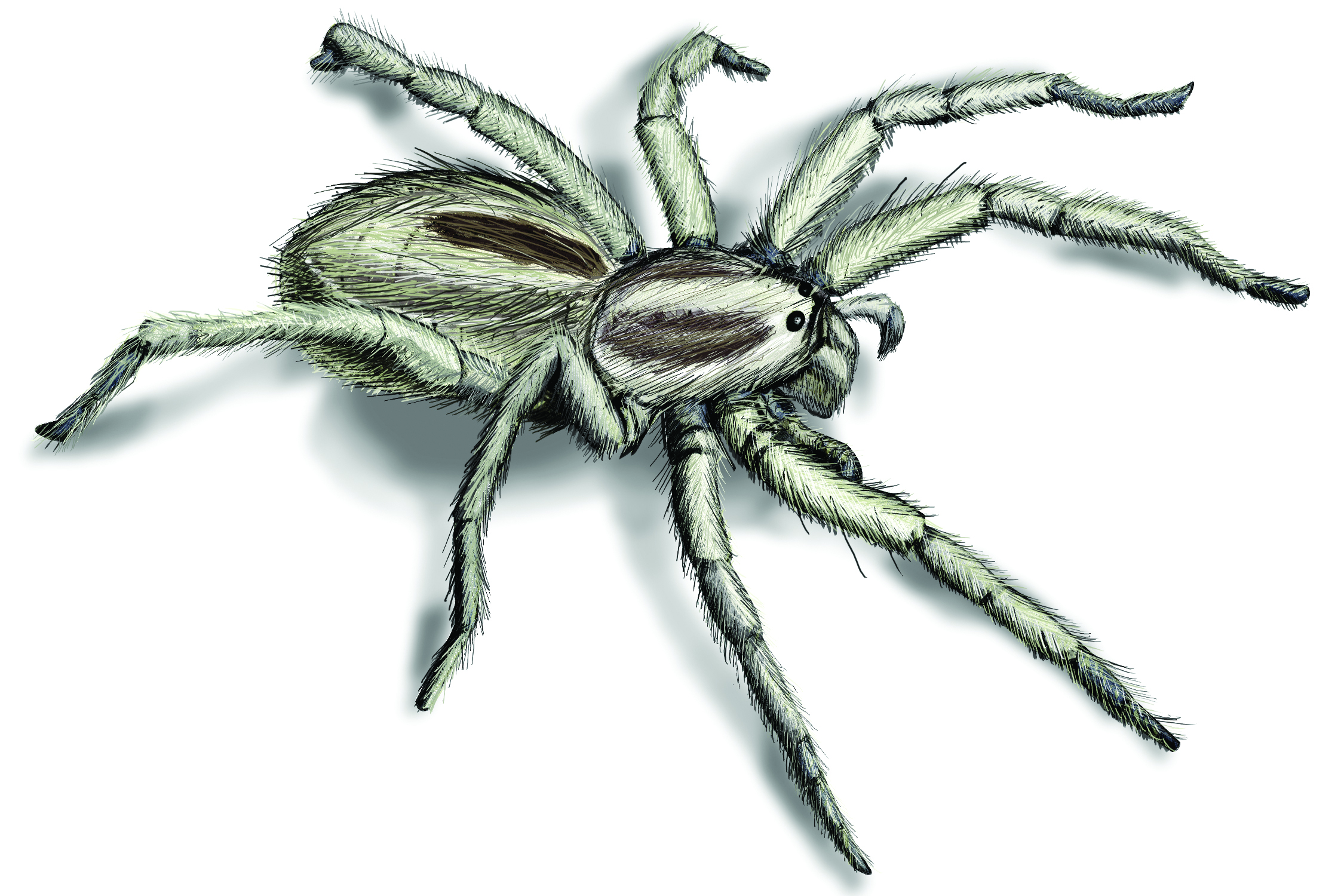 Wolf Spider Infestation - How to Get Rid of Wolf Spiders