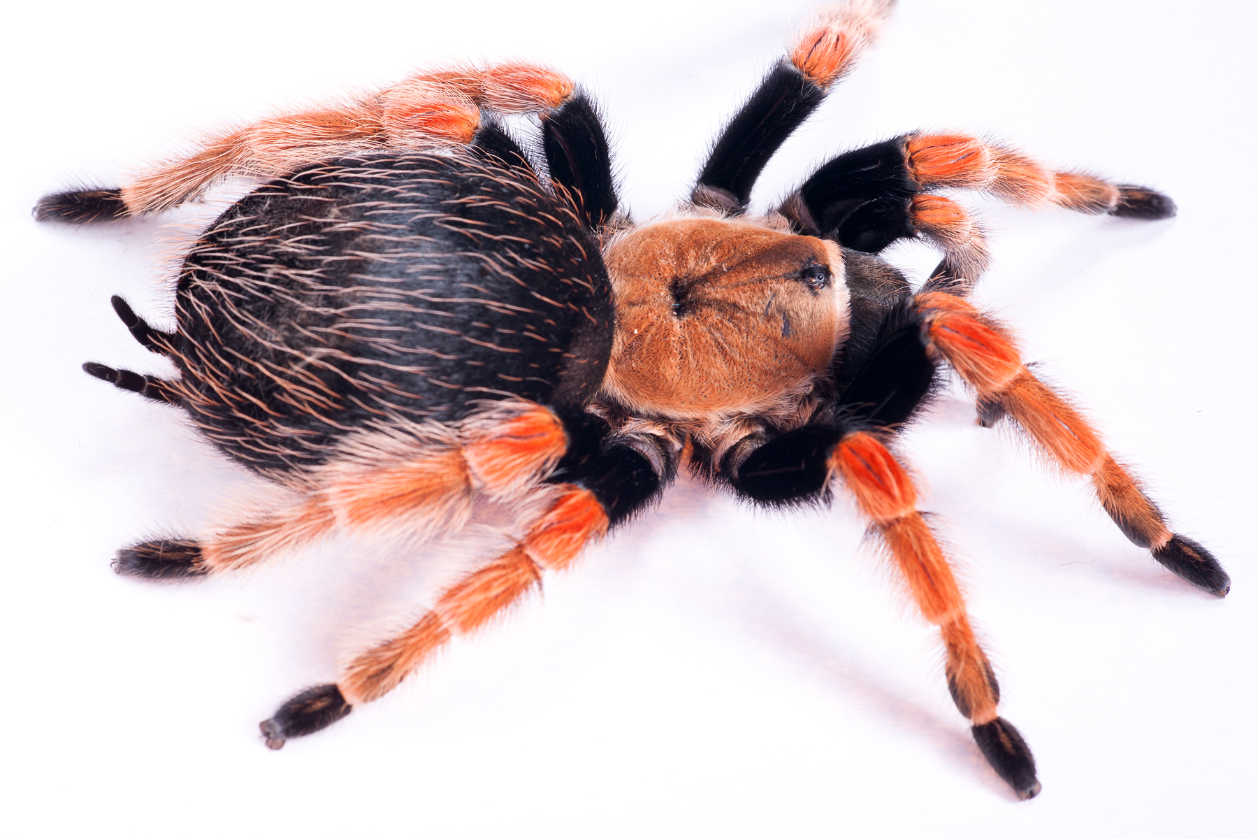 Large Hairy Spider, Scary, Natural, Nature, One, HQ Photo