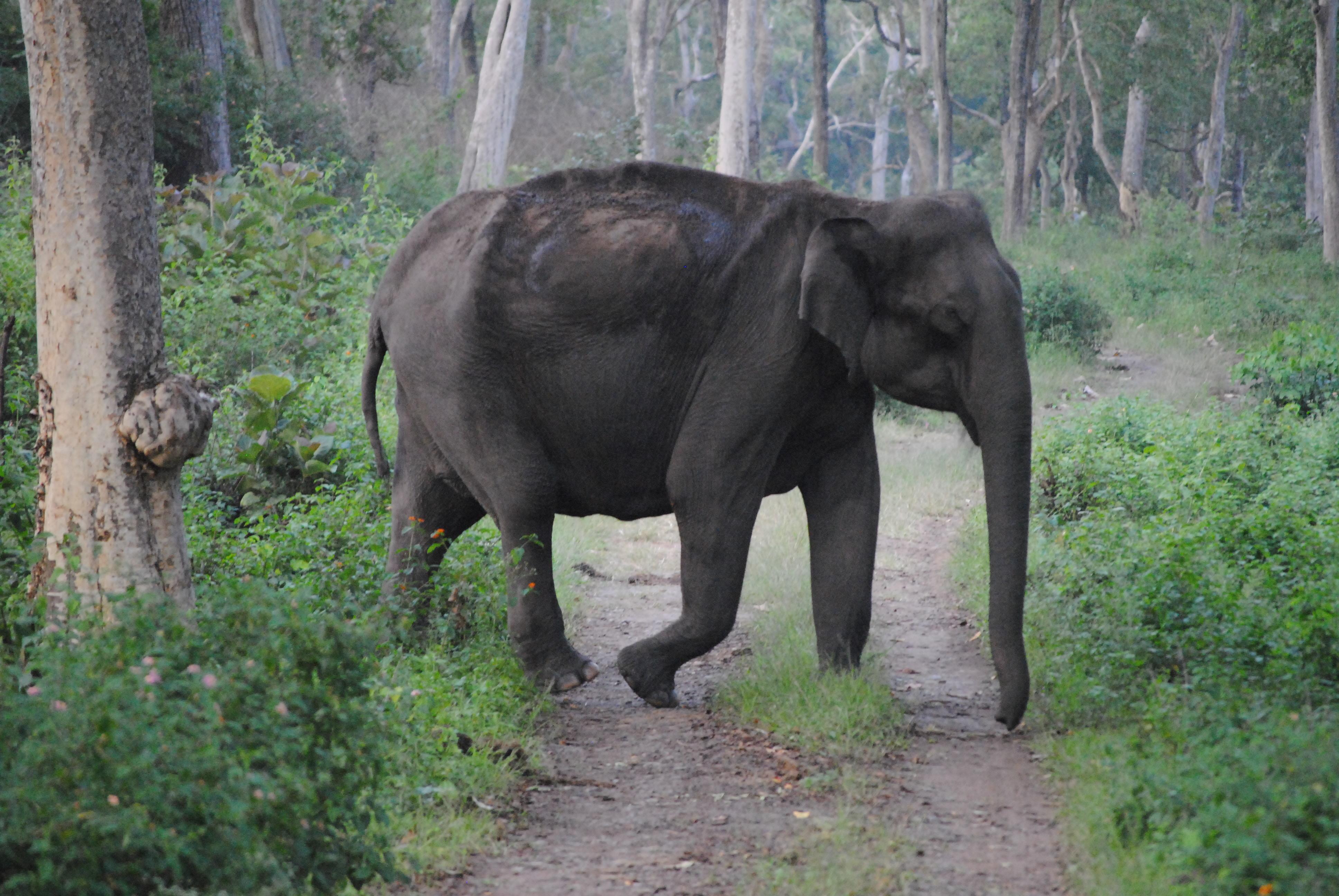 Large indian elephant cross the road photo
