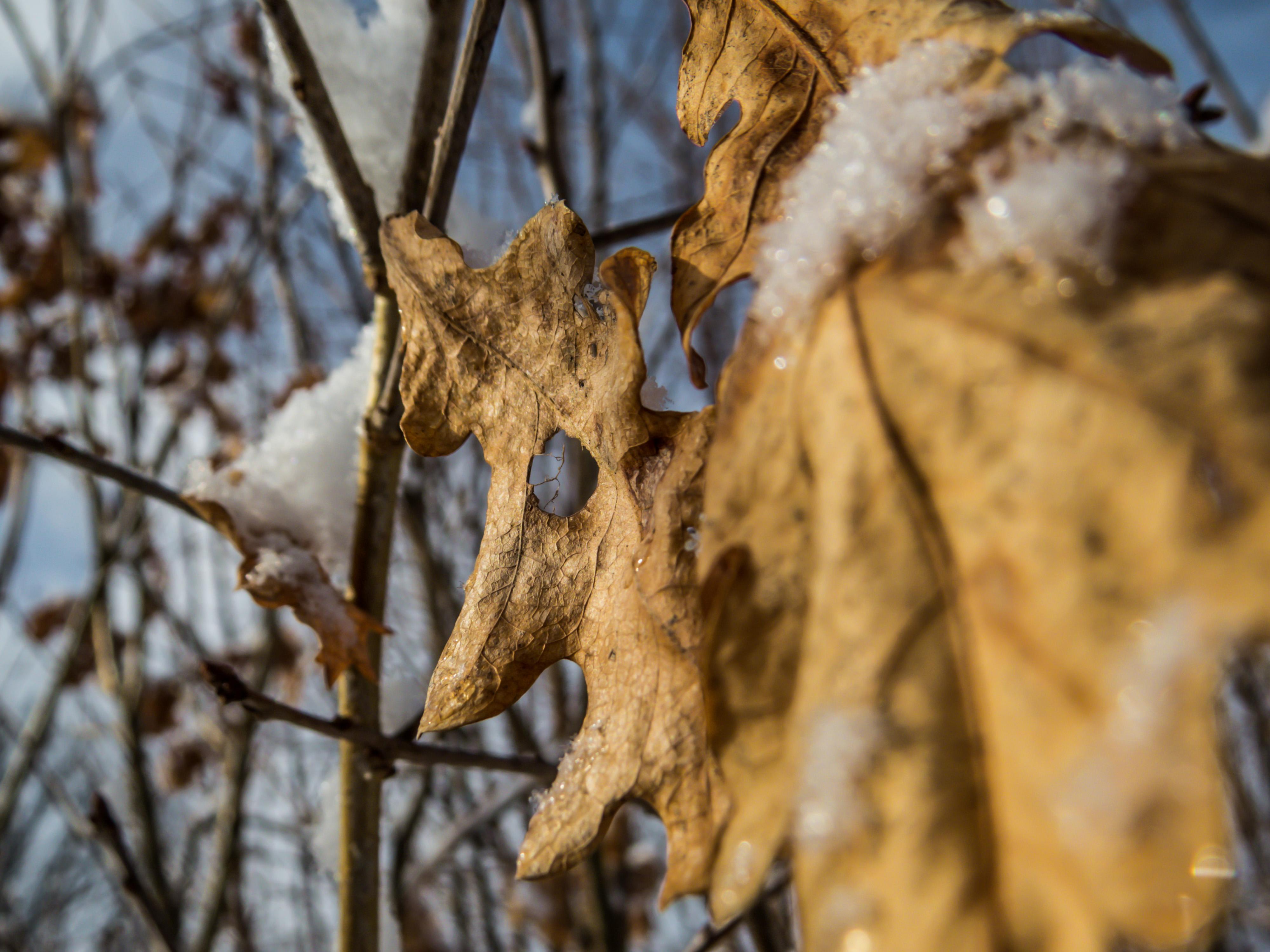 Last year oak leaves, Beautiful, Quit, Wild, Tree, HQ Photo