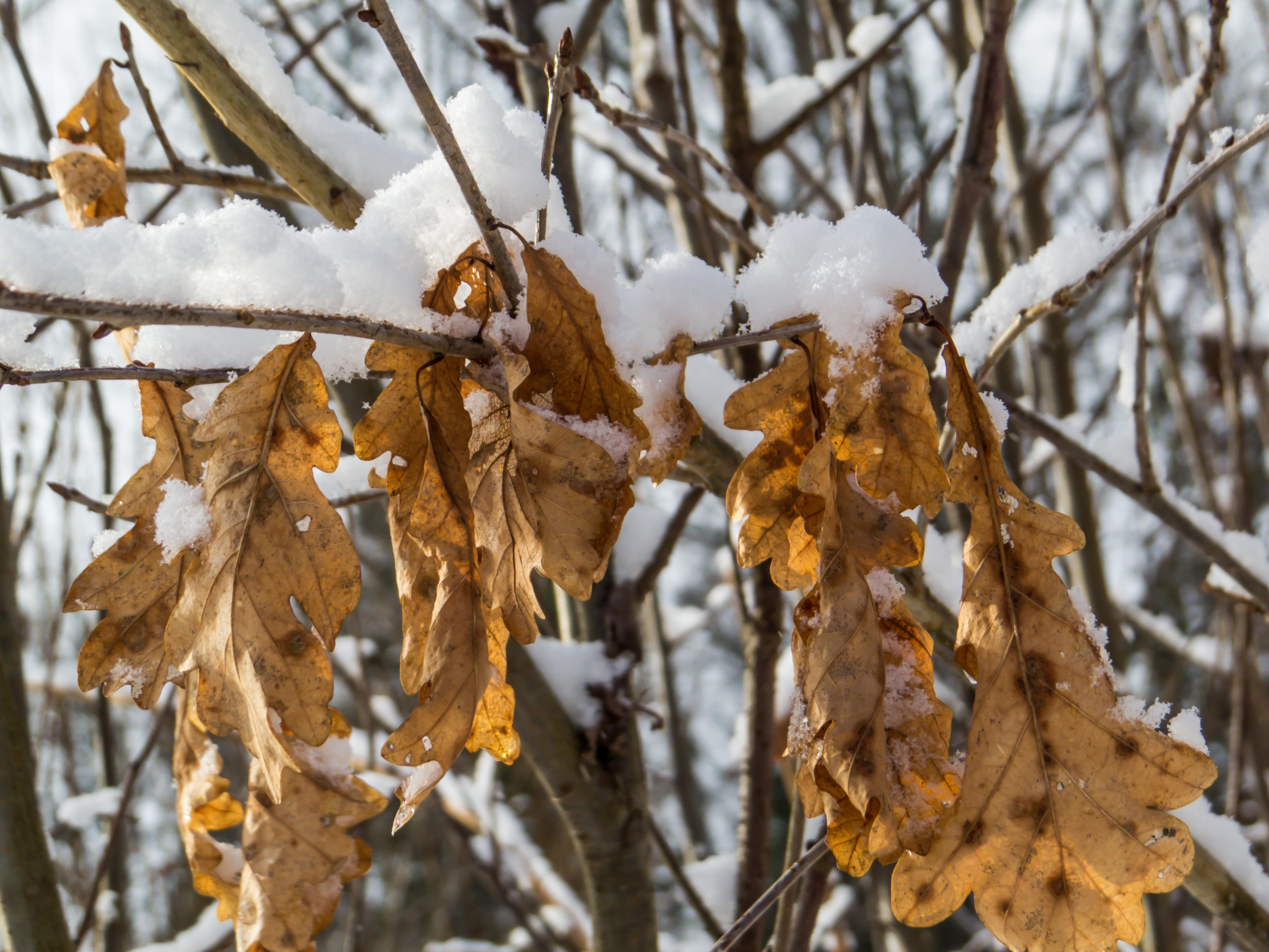 Last year oak leaves photo