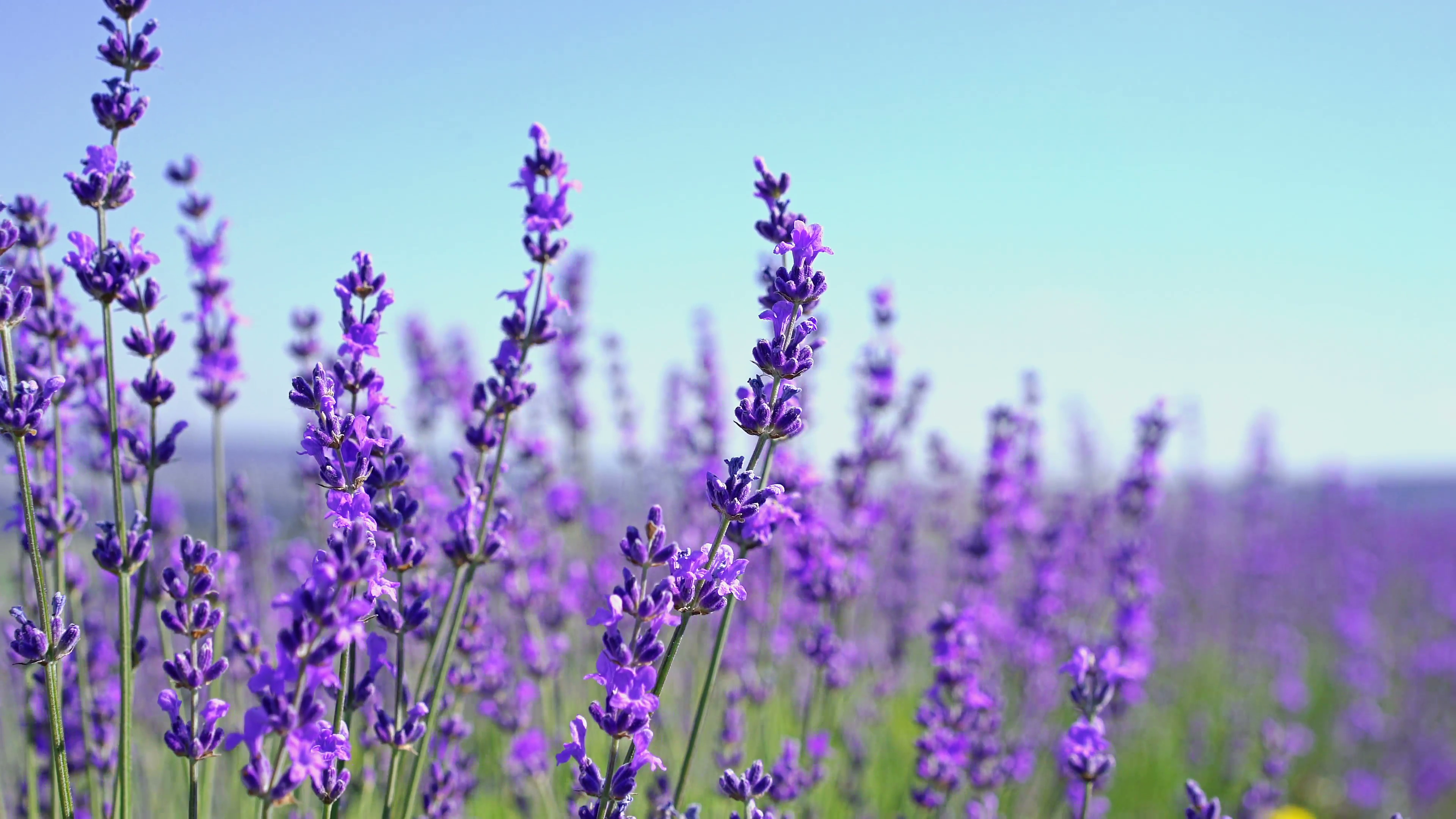 Free Photo Lavender Blooming Flower Fragrance Free Download