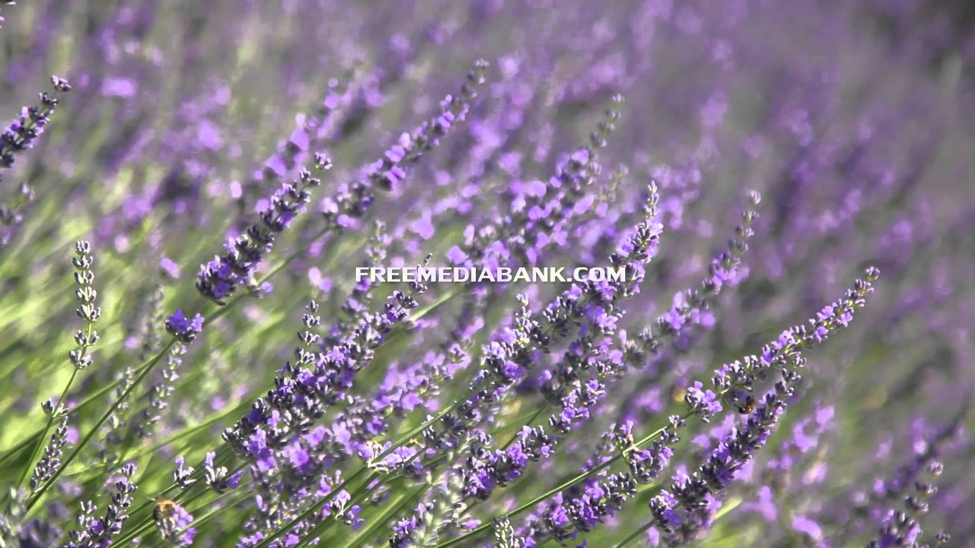 Lavender blooming photo