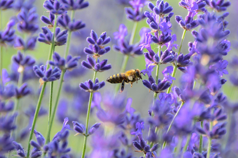 Lavender Bloom Celebration