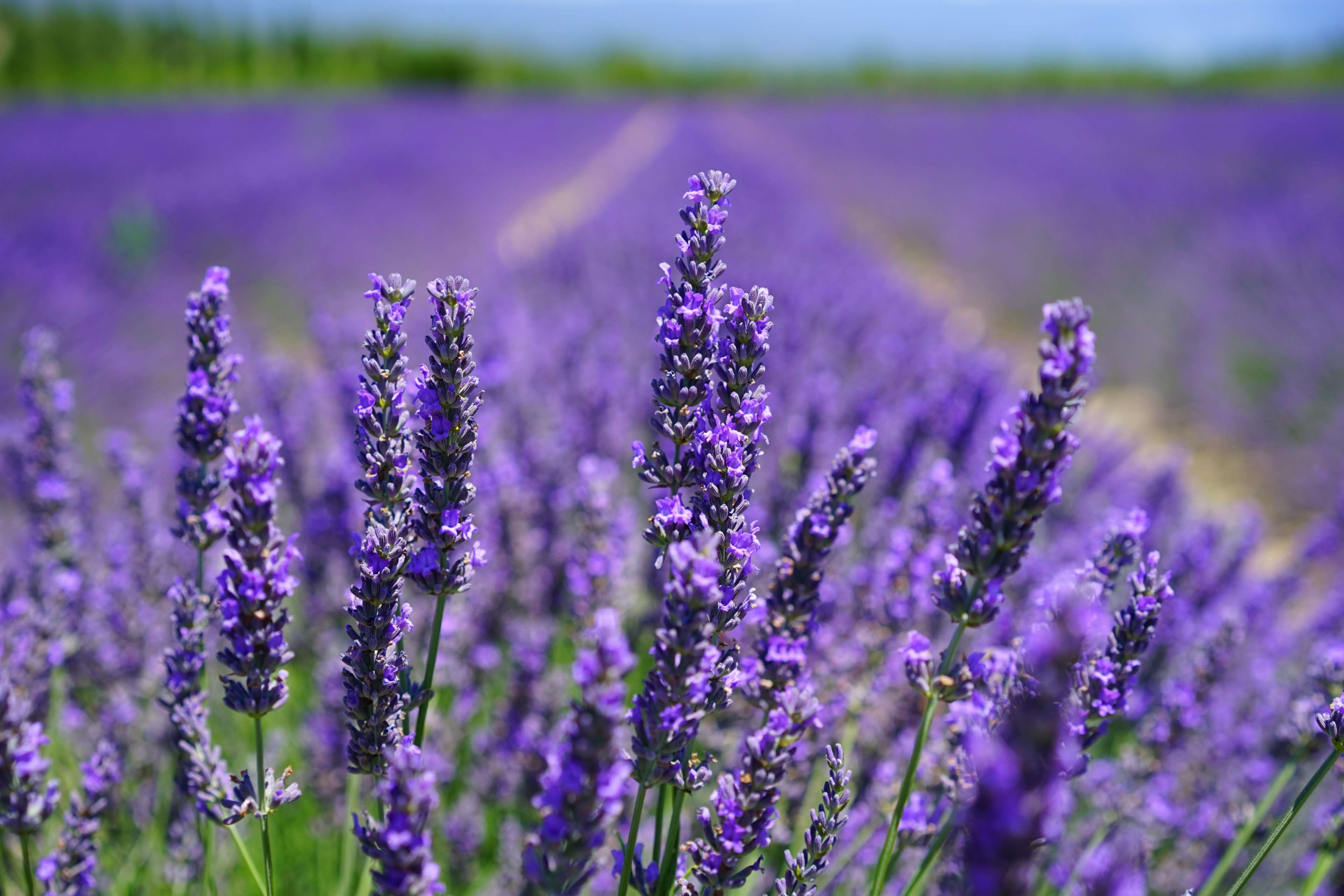 aroma #blooming lavender #close up #countryside #field #field of ...