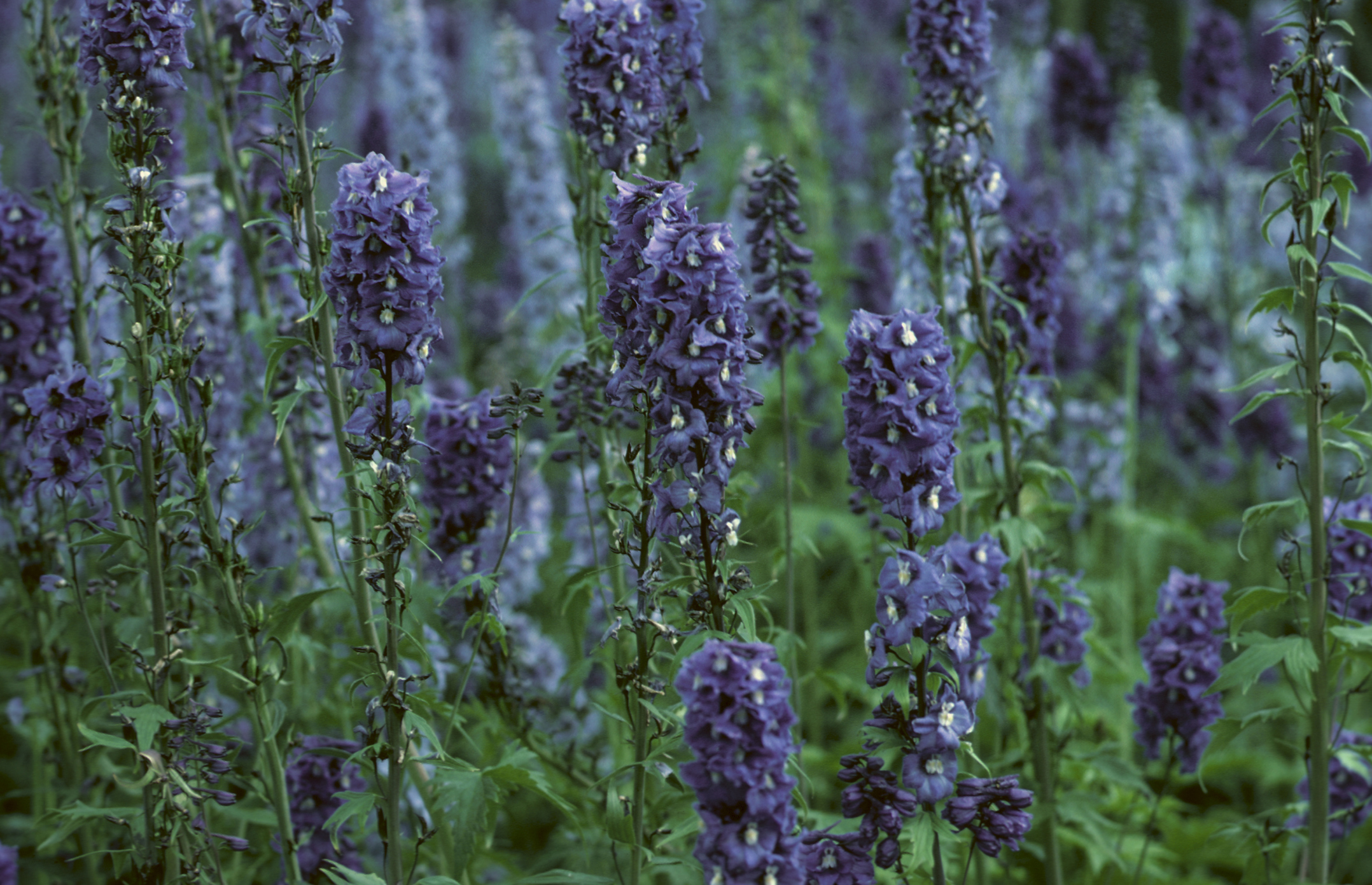 When Does Lavender Bloom? | Home Guides | SF Gate