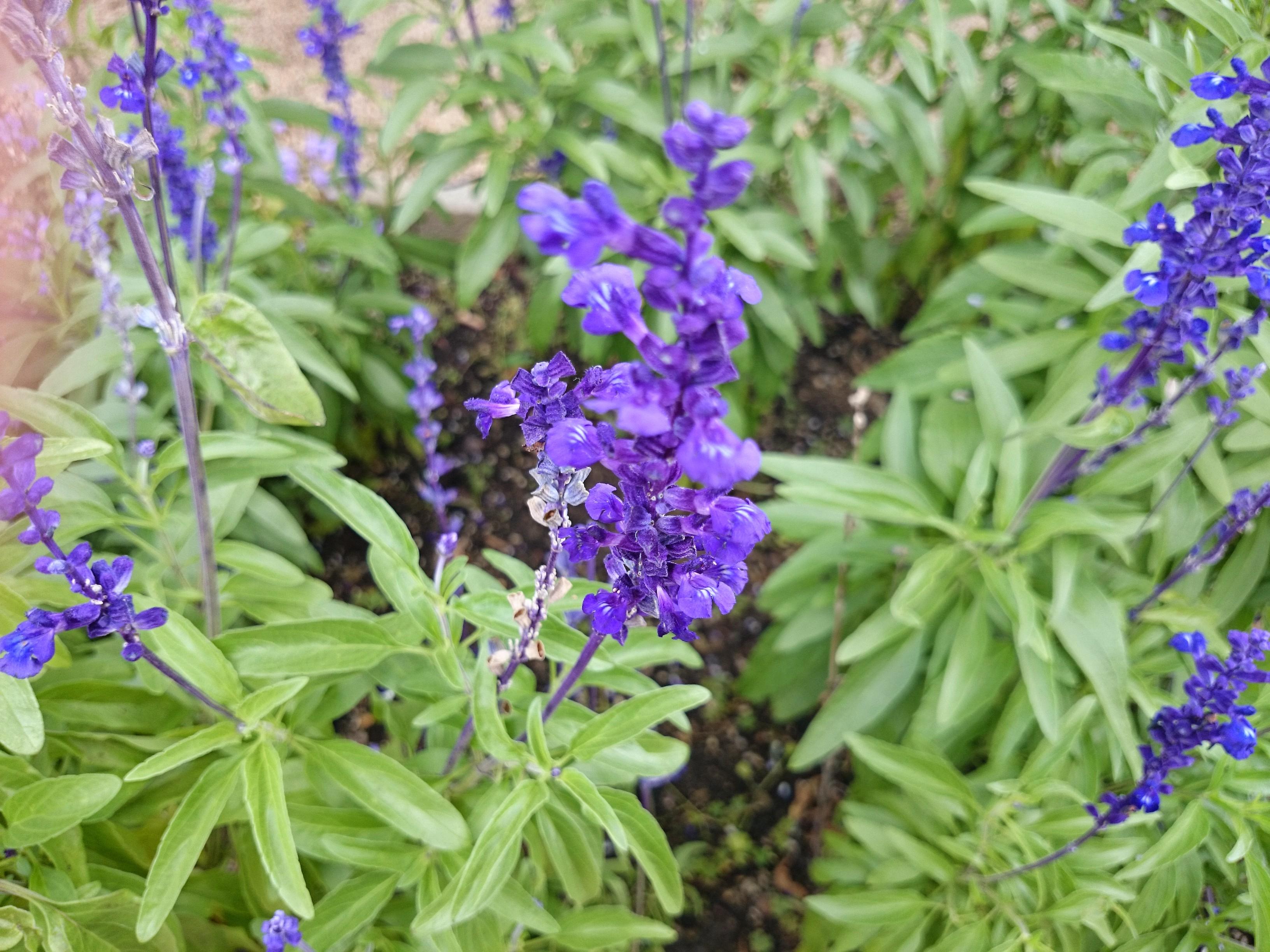 Lavender Blooming, Fresh, Purple, Nature, Macro, HQ Photo