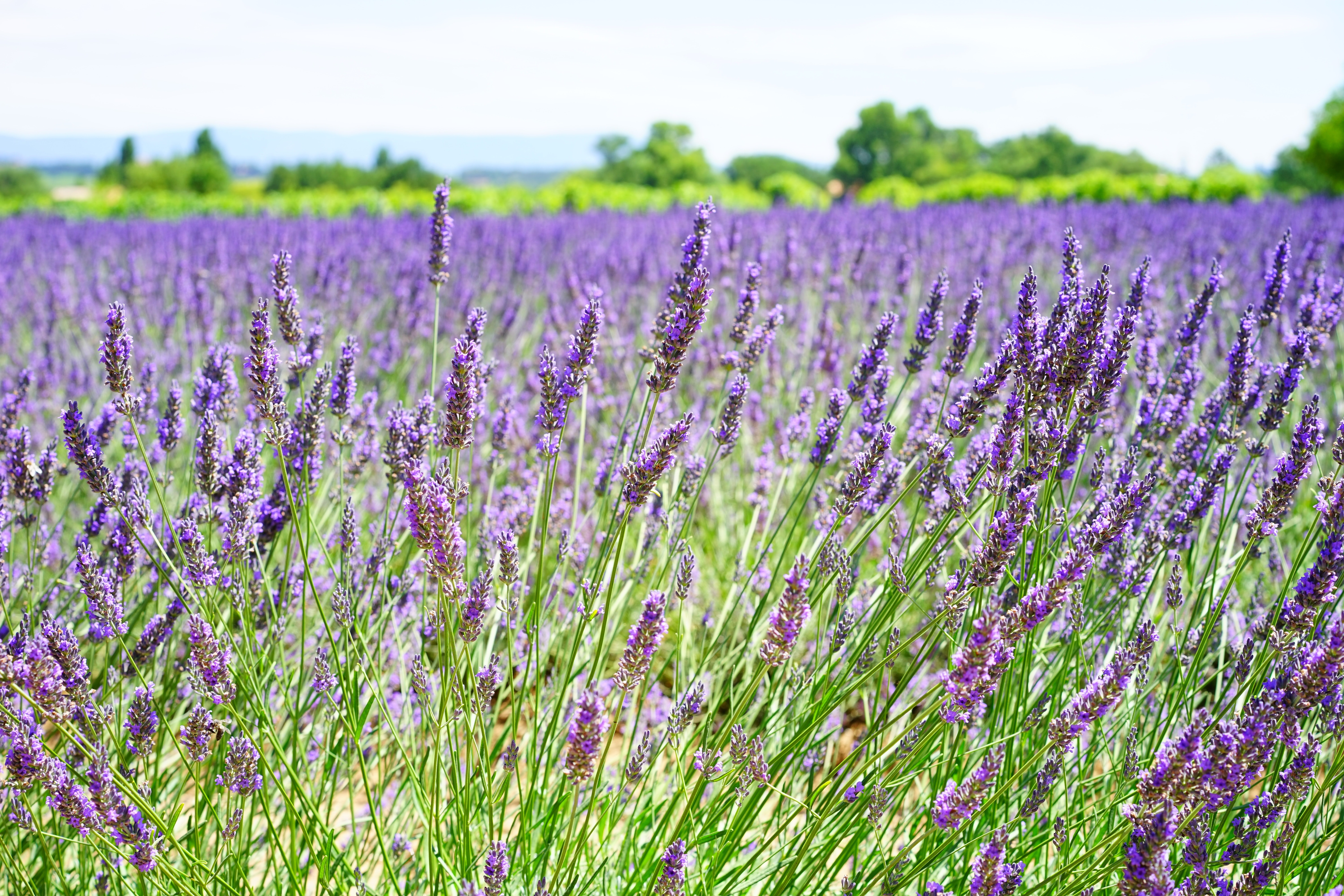 Free Photo Lavender Field During Daytime Agriculture